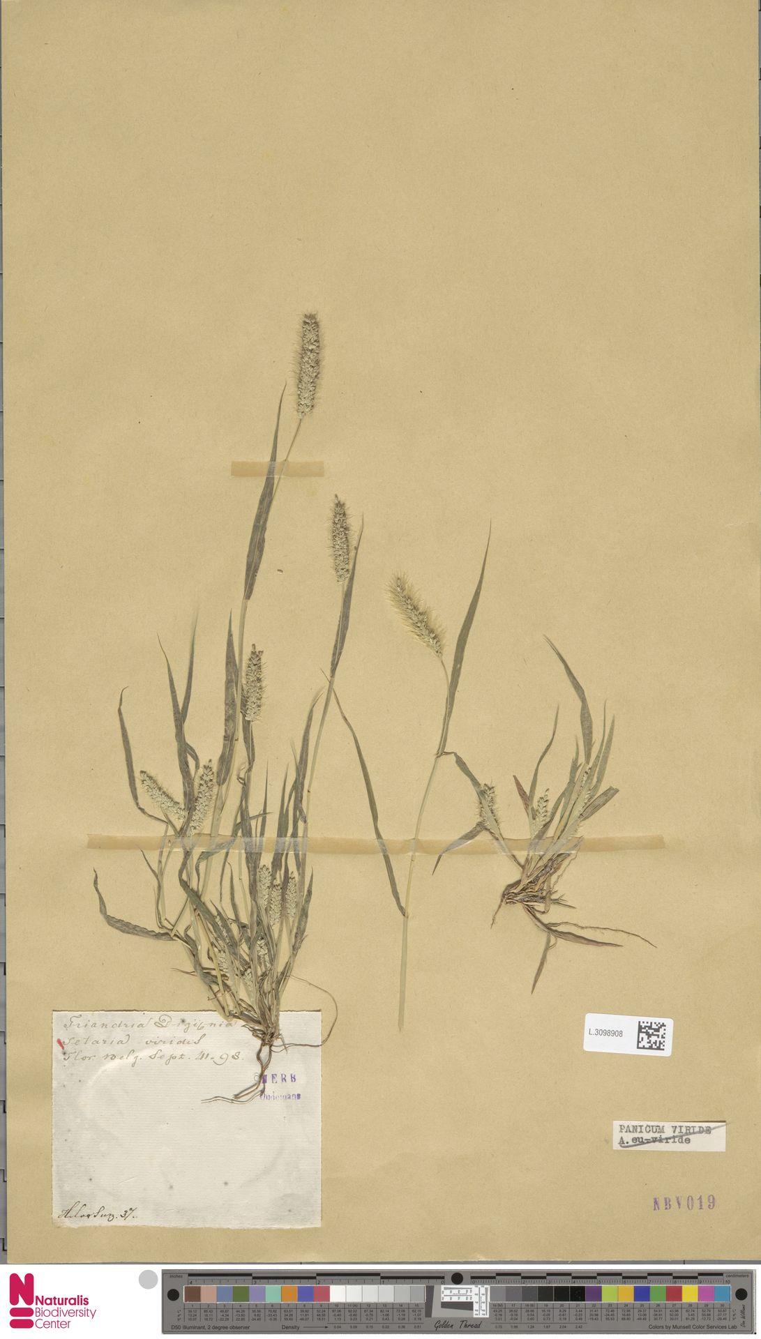 L.3098908 | Setaria viridis (L.) P.Beauv.