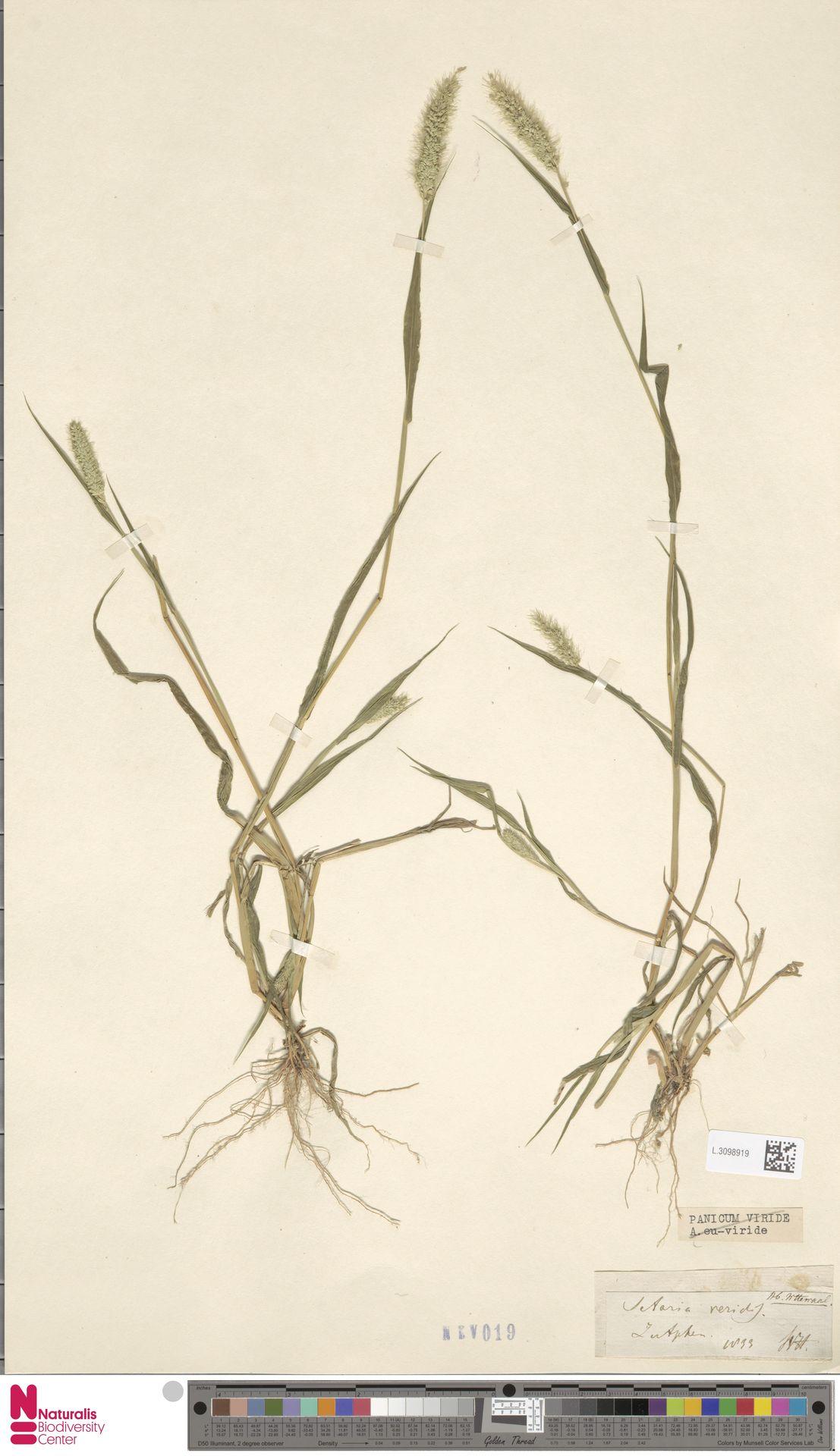 L.3098919 | Setaria viridis (L.) P.Beauv.