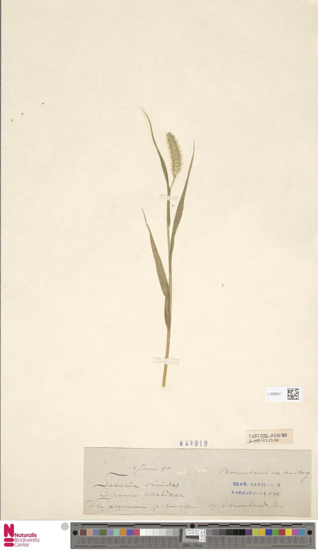 L.3098927 | Setaria viridis (L.) P.Beauv.