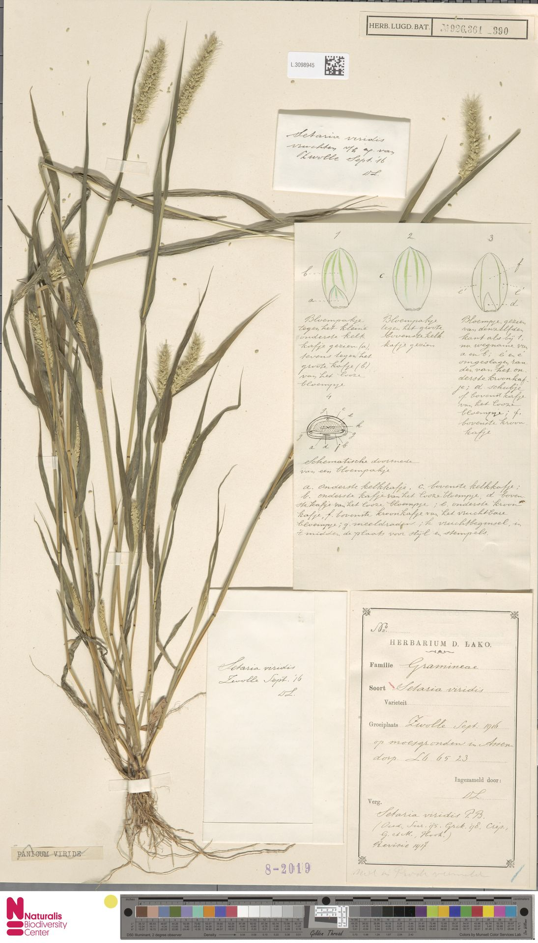 L.3098945   Setaria viridis (L.) P.Beauv.