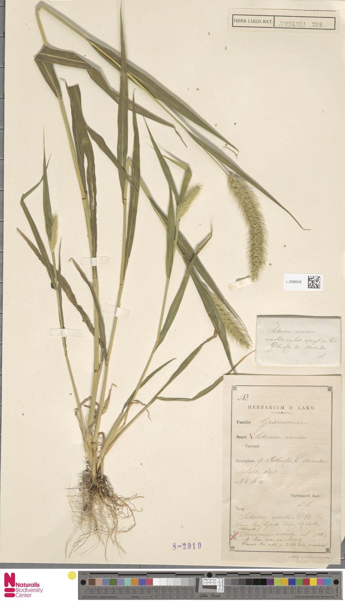 L.3098948 | Setaria viridis (L.) P.Beauv.