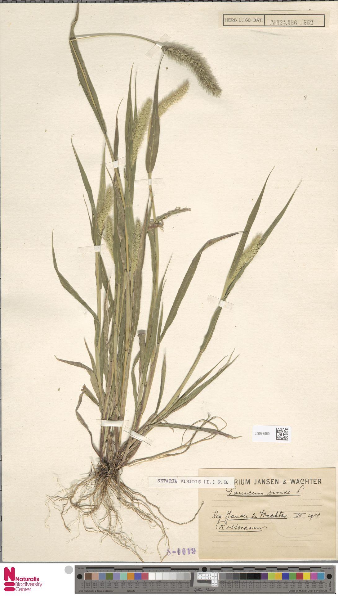 L.3098950 | Setaria viridis (L.) P.Beauv.