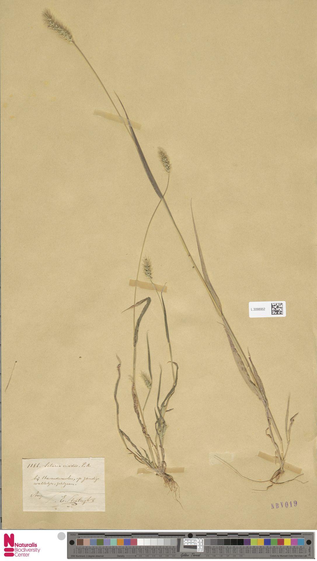 L.3098952 | Setaria viridis (L.) P.Beauv.