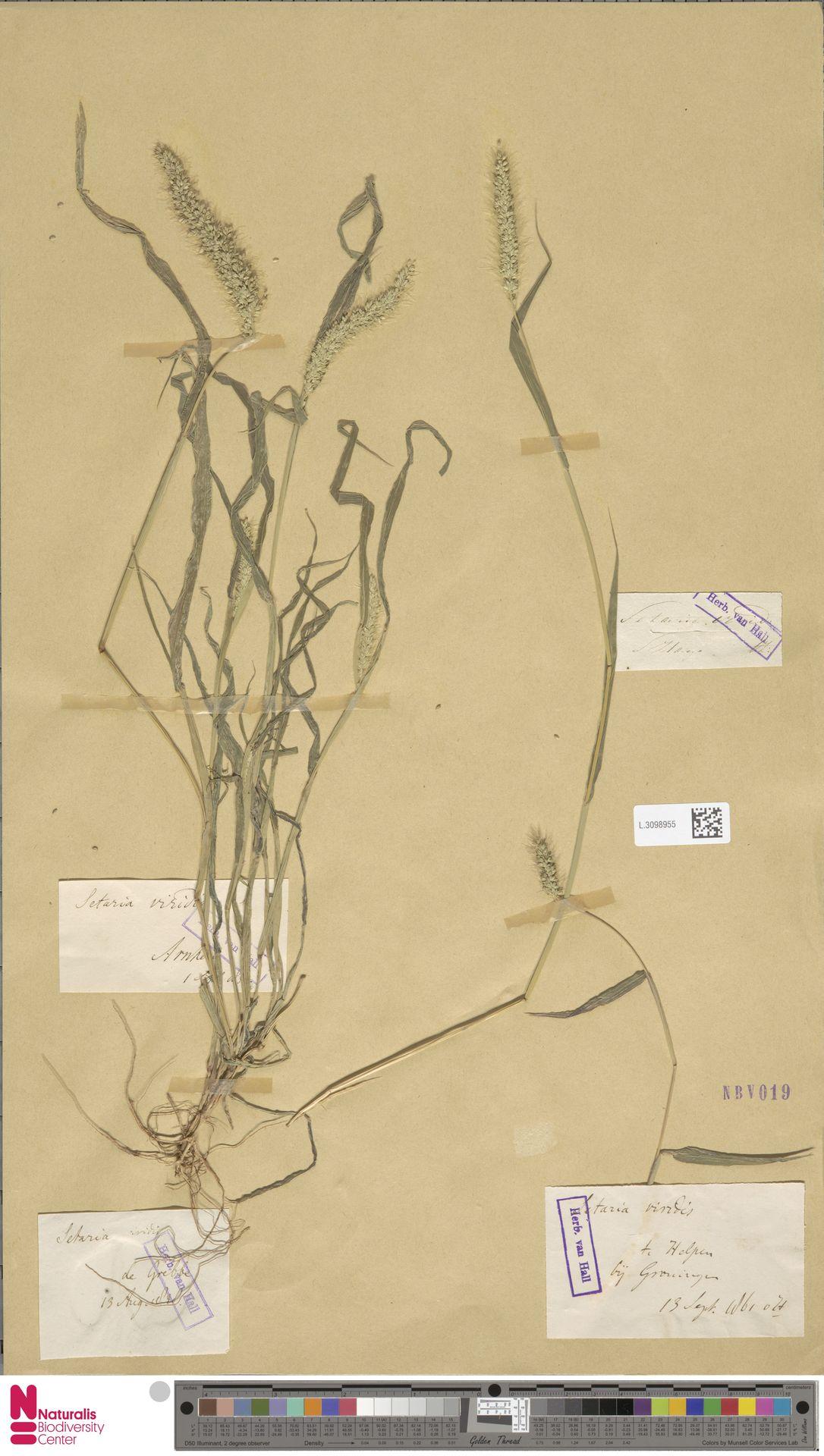 L.3098955 | Setaria viridis (L.) P.Beauv.