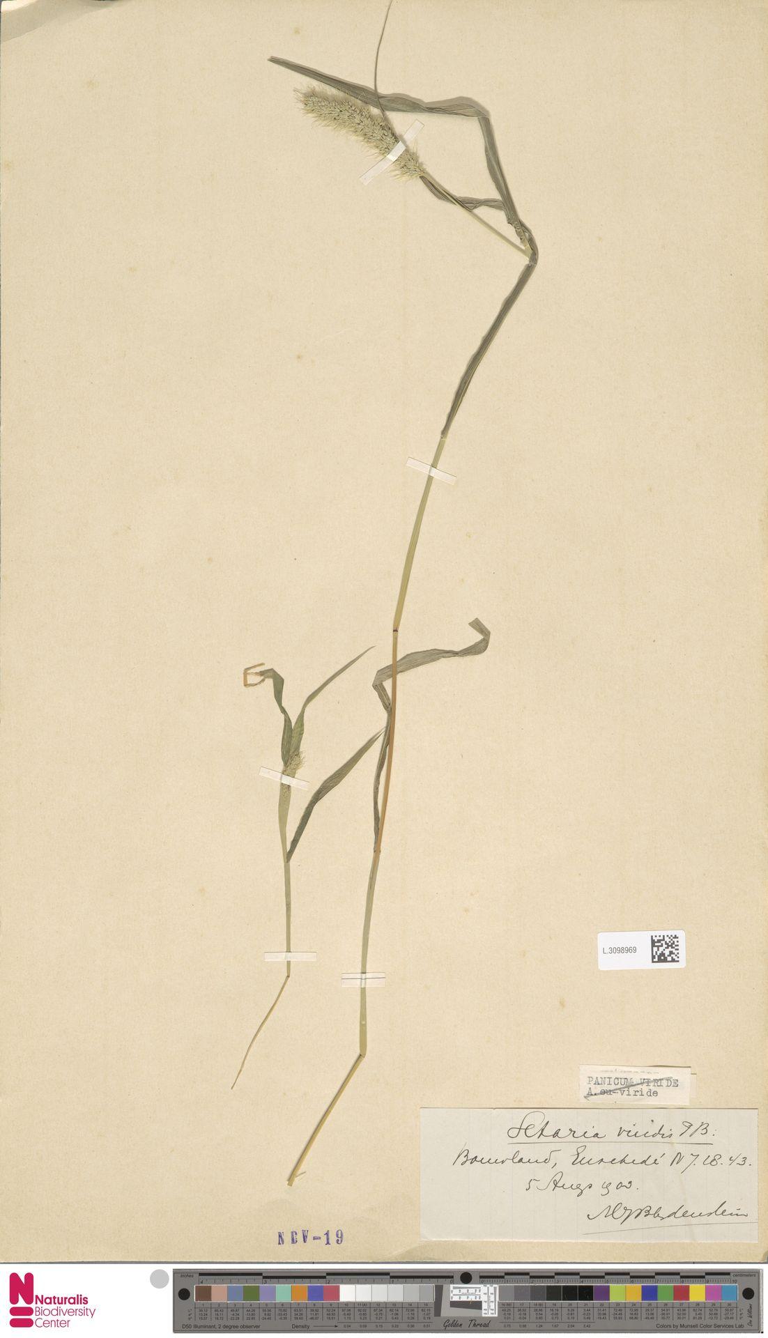 L.3098969   Setaria viridis (L.) P.Beauv.