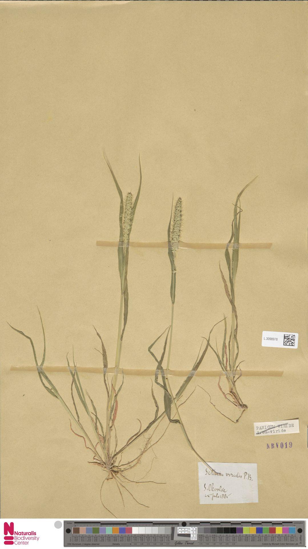 L.3098978   Setaria viridis (L.) P.Beauv.