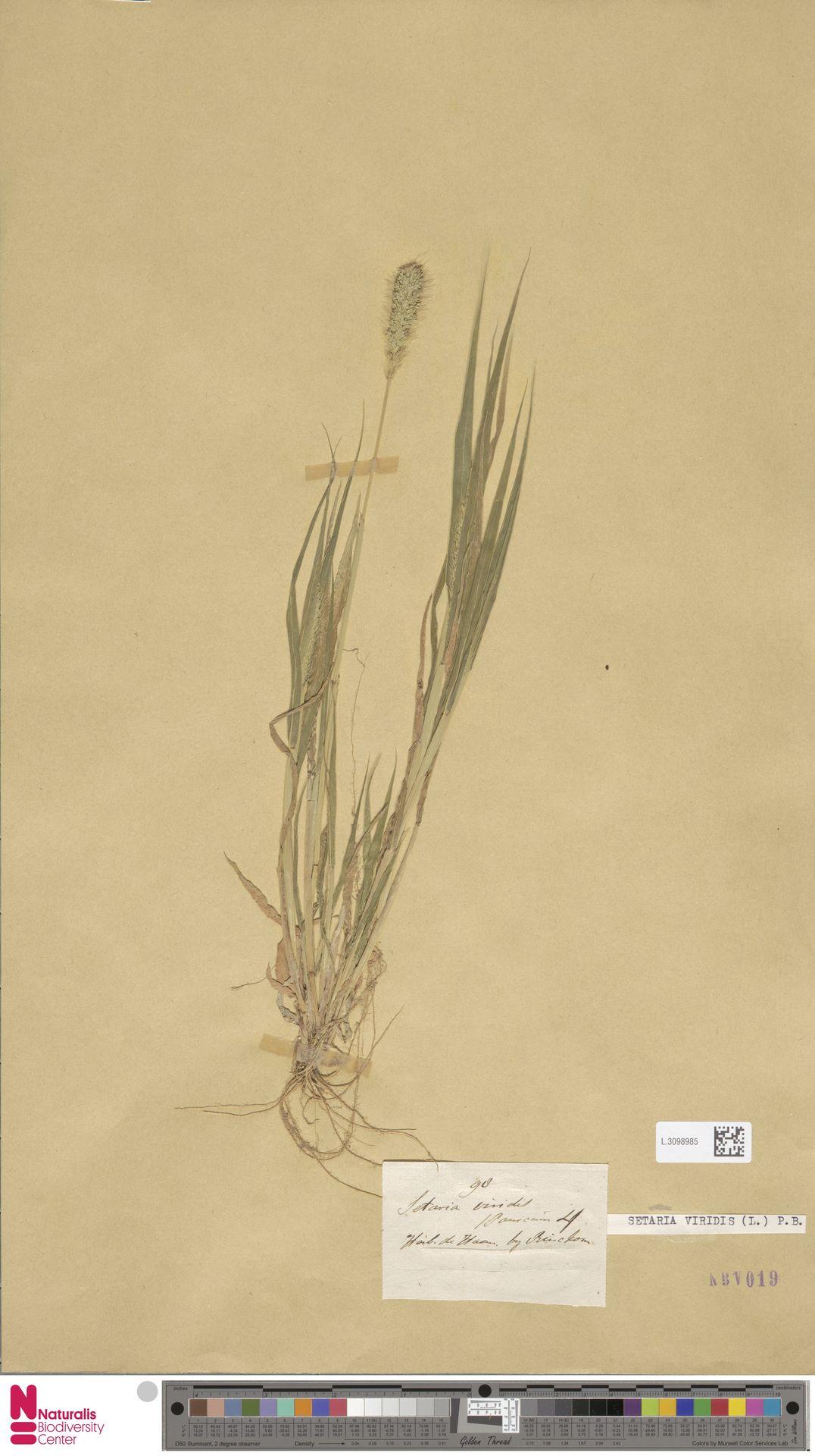 L.3098985 | Setaria viridis (L.) P.Beauv.