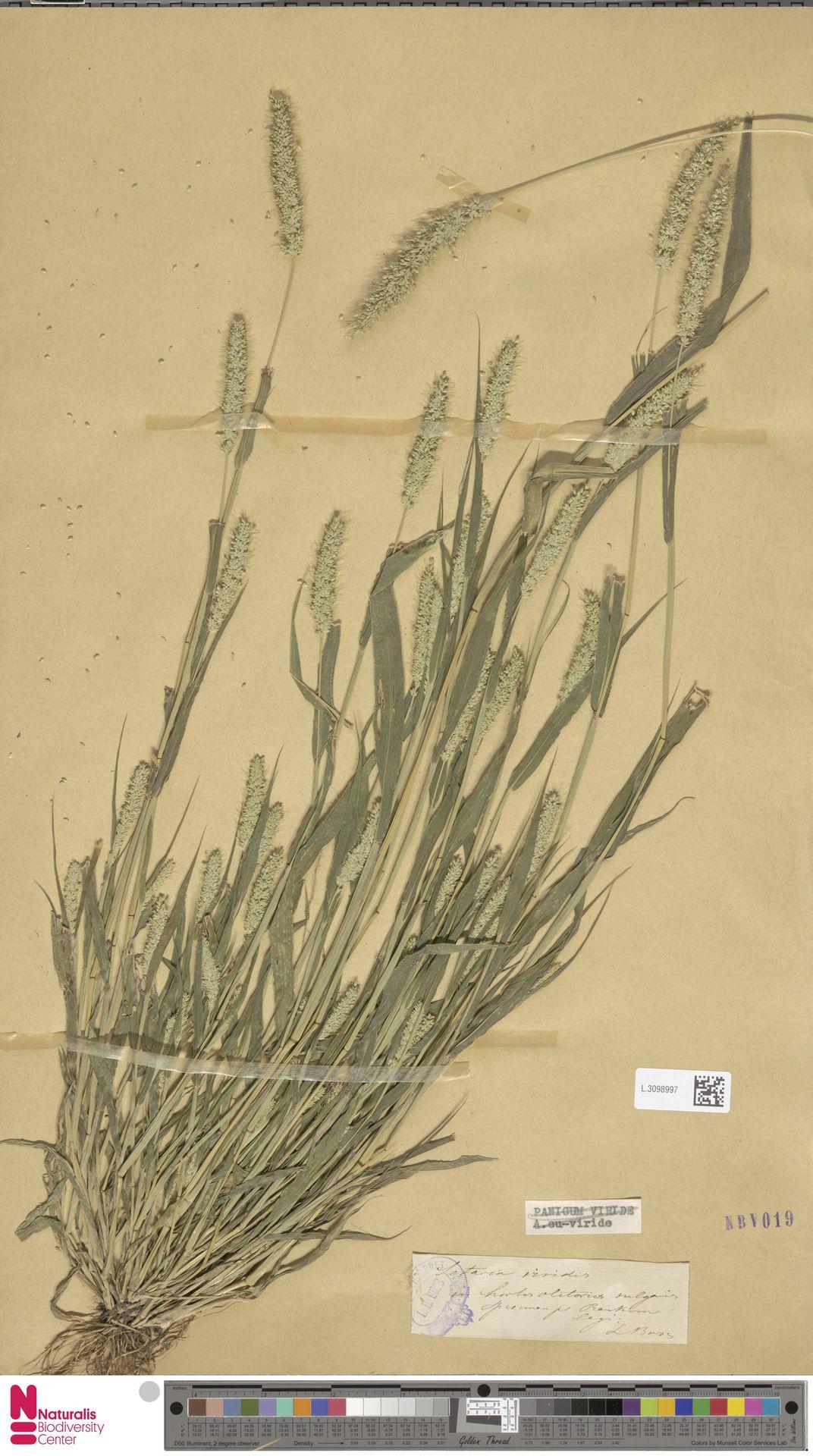 L.3098997 | Setaria viridis (L.) P.Beauv.