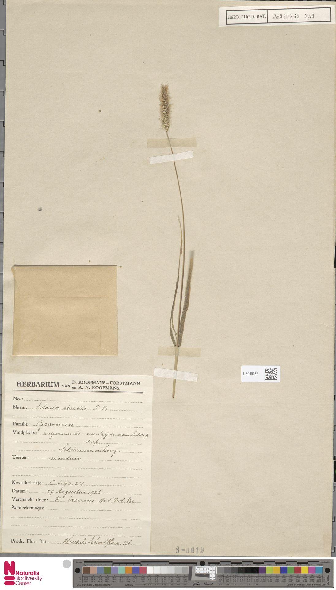 L.3099037 | Setaria viridis (L.) P.Beauv.