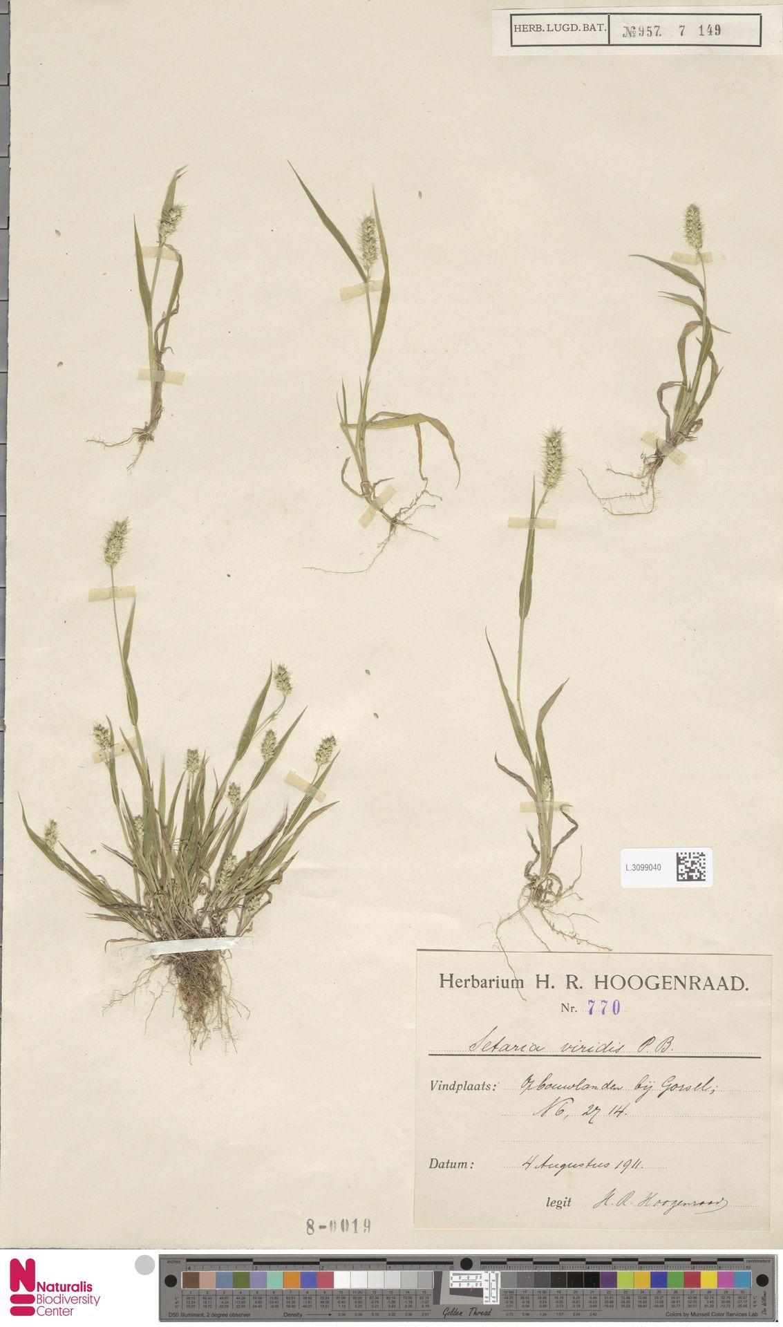 L.3099040 | Setaria viridis (L.) P.Beauv.