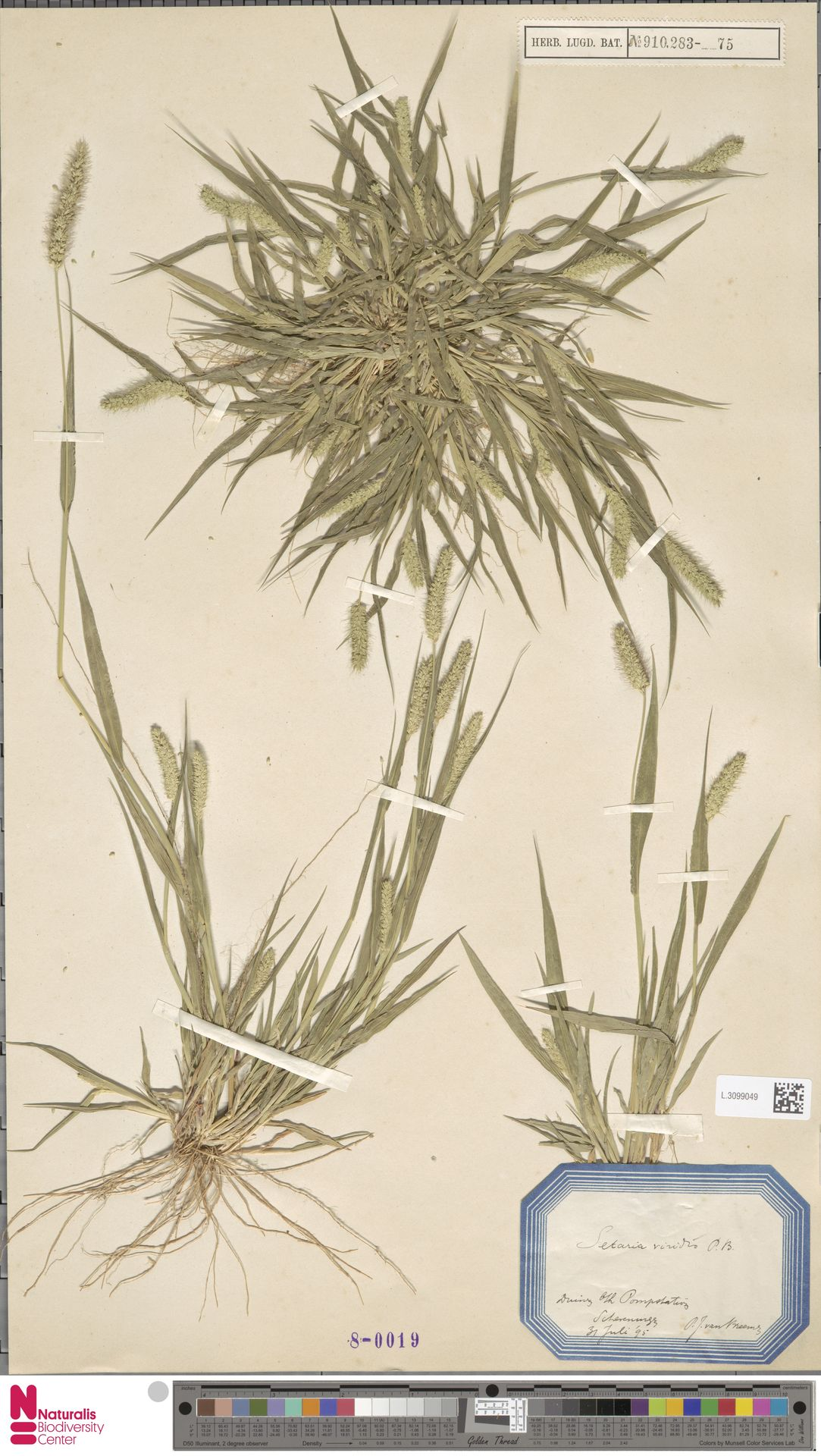 L.3099049 | Setaria viridis (L.) P.Beauv.