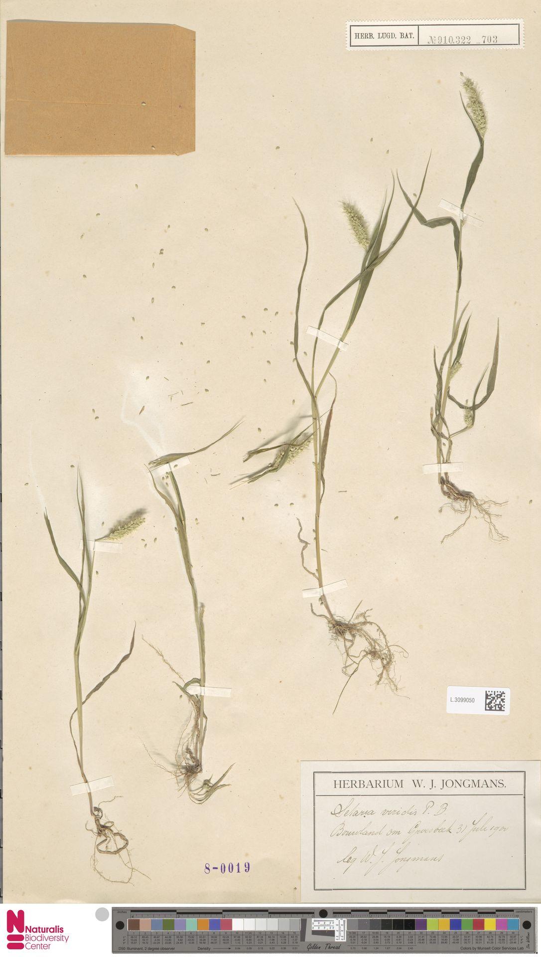 L.3099050 | Setaria viridis (L.) P.Beauv.