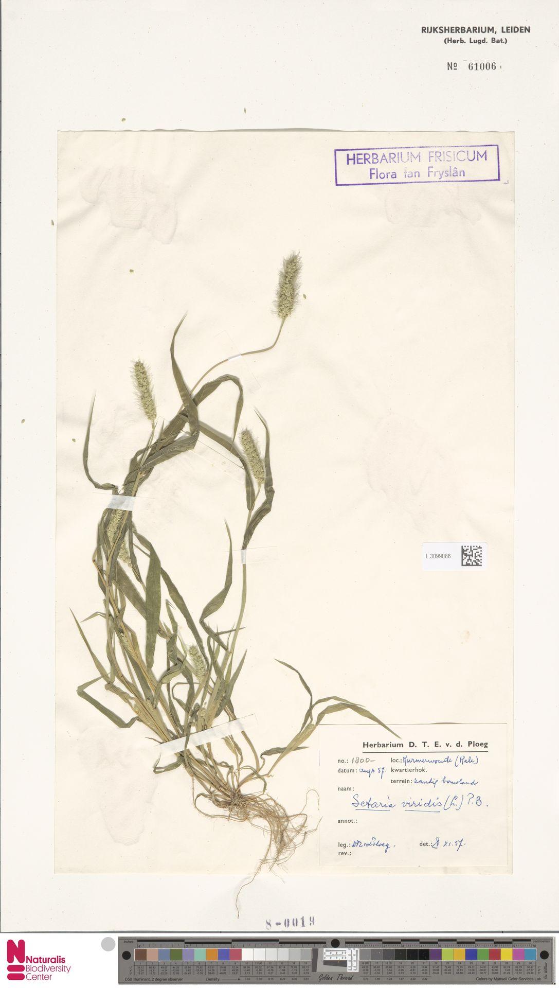 L.3099086 | Setaria viridis (L.) P.Beauv.