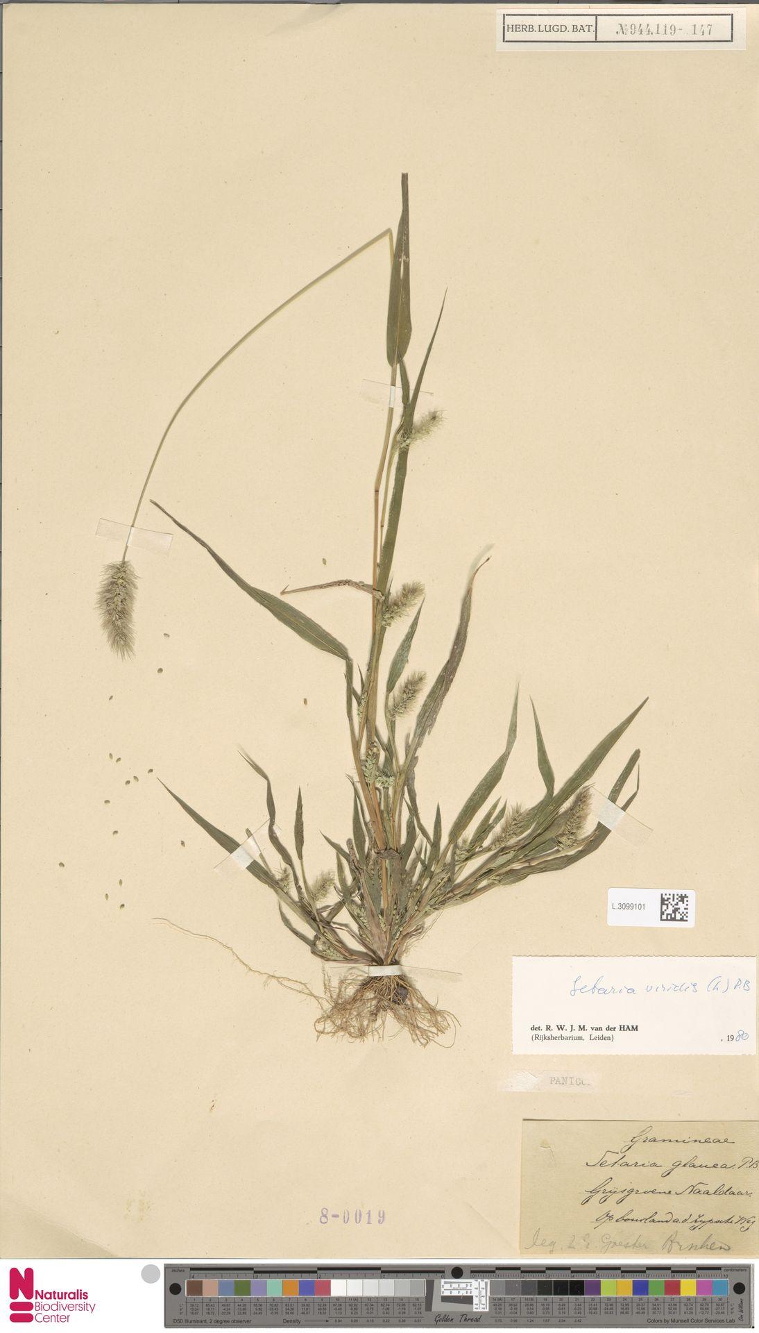 L.3099101 | Setaria viridis (L.) P.Beauv.