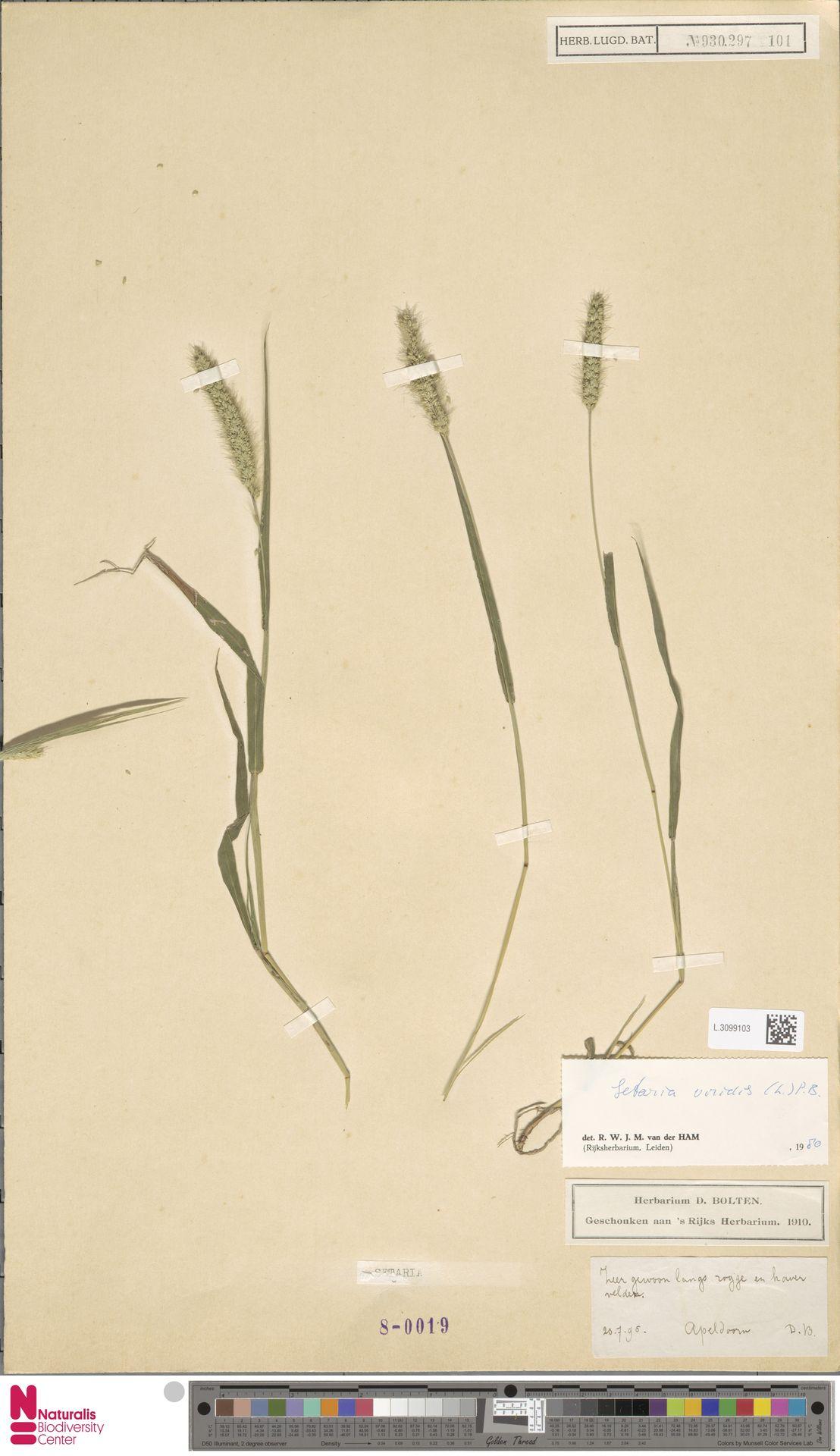 L.3099103 | Setaria viridis (L.) P.Beauv.