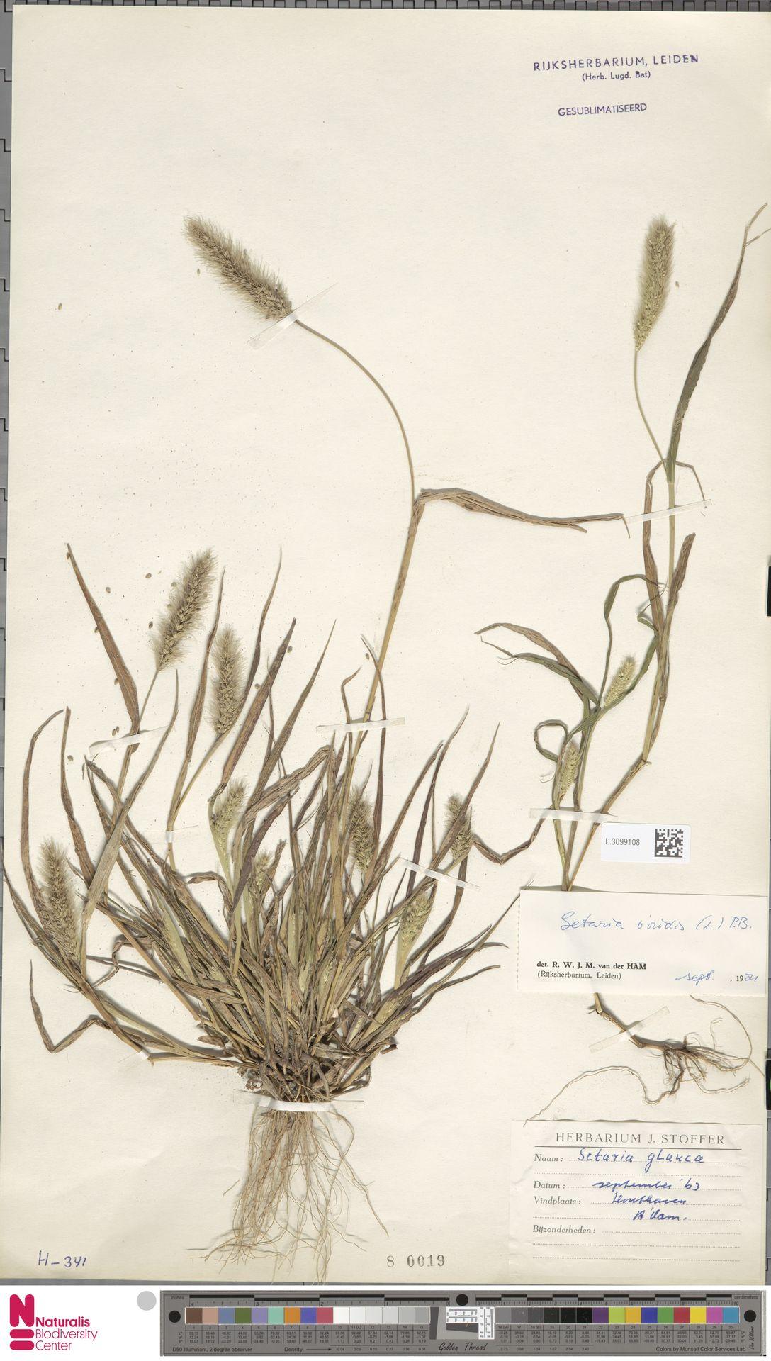 L.3099108 | Setaria viridis (L.) P.Beauv.