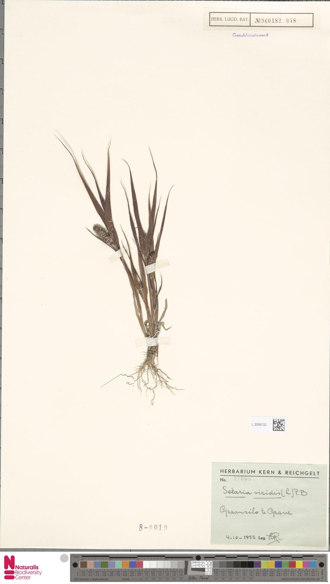 L.3099133 | Setaria viridis (L.) P.Beauv.