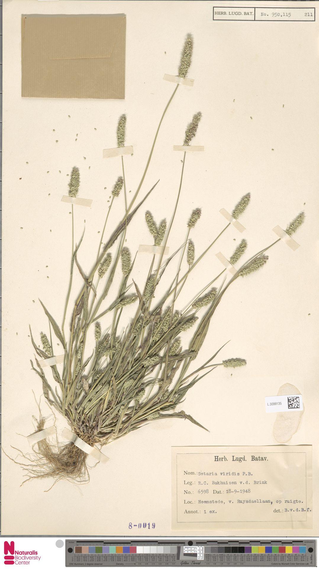 L.3099135 | Setaria viridis (L.) P.Beauv.