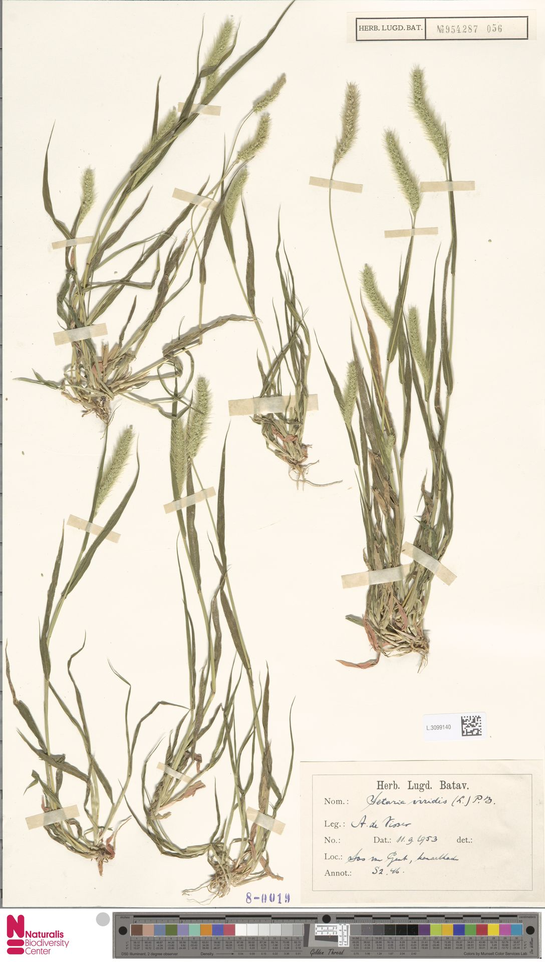 L.3099140 | Setaria viridis (L.) P.Beauv.
