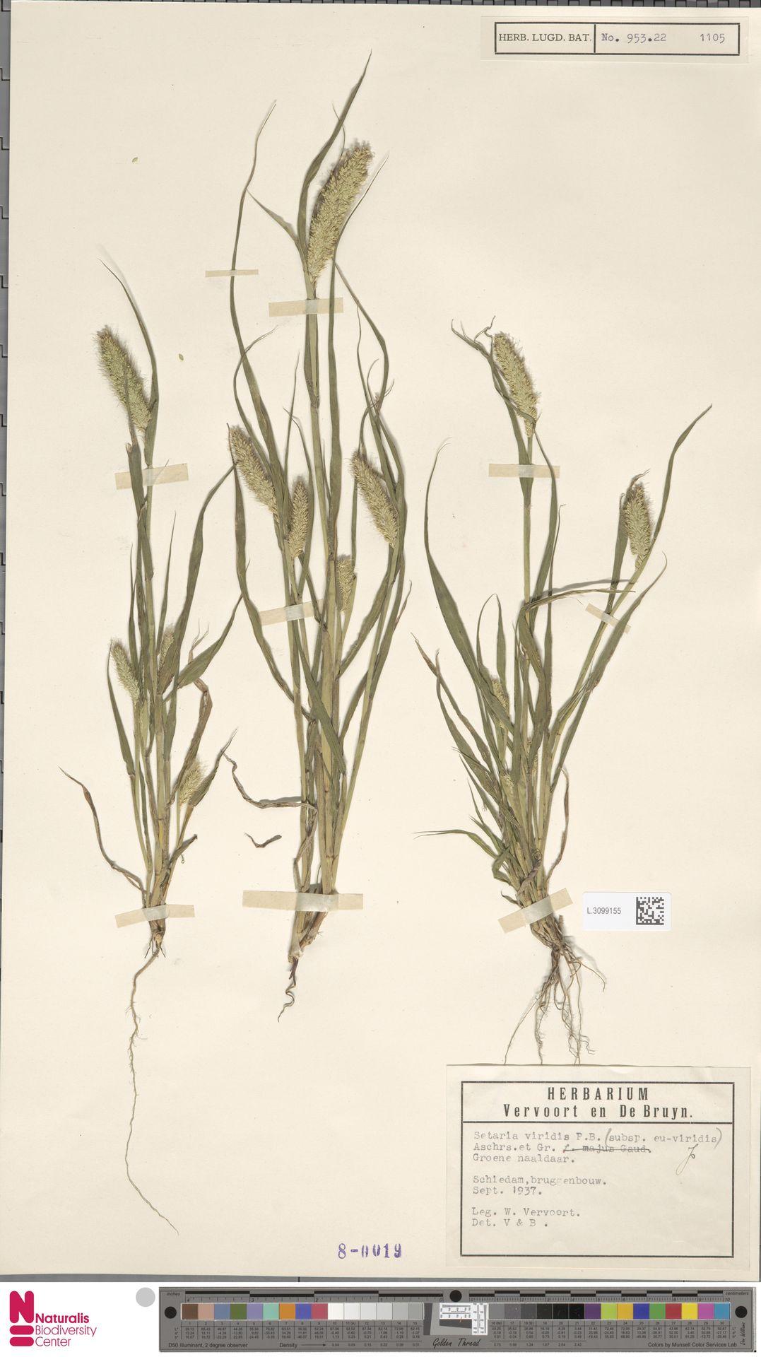 L.3099155   Setaria viridis (L.) P.Beauv.