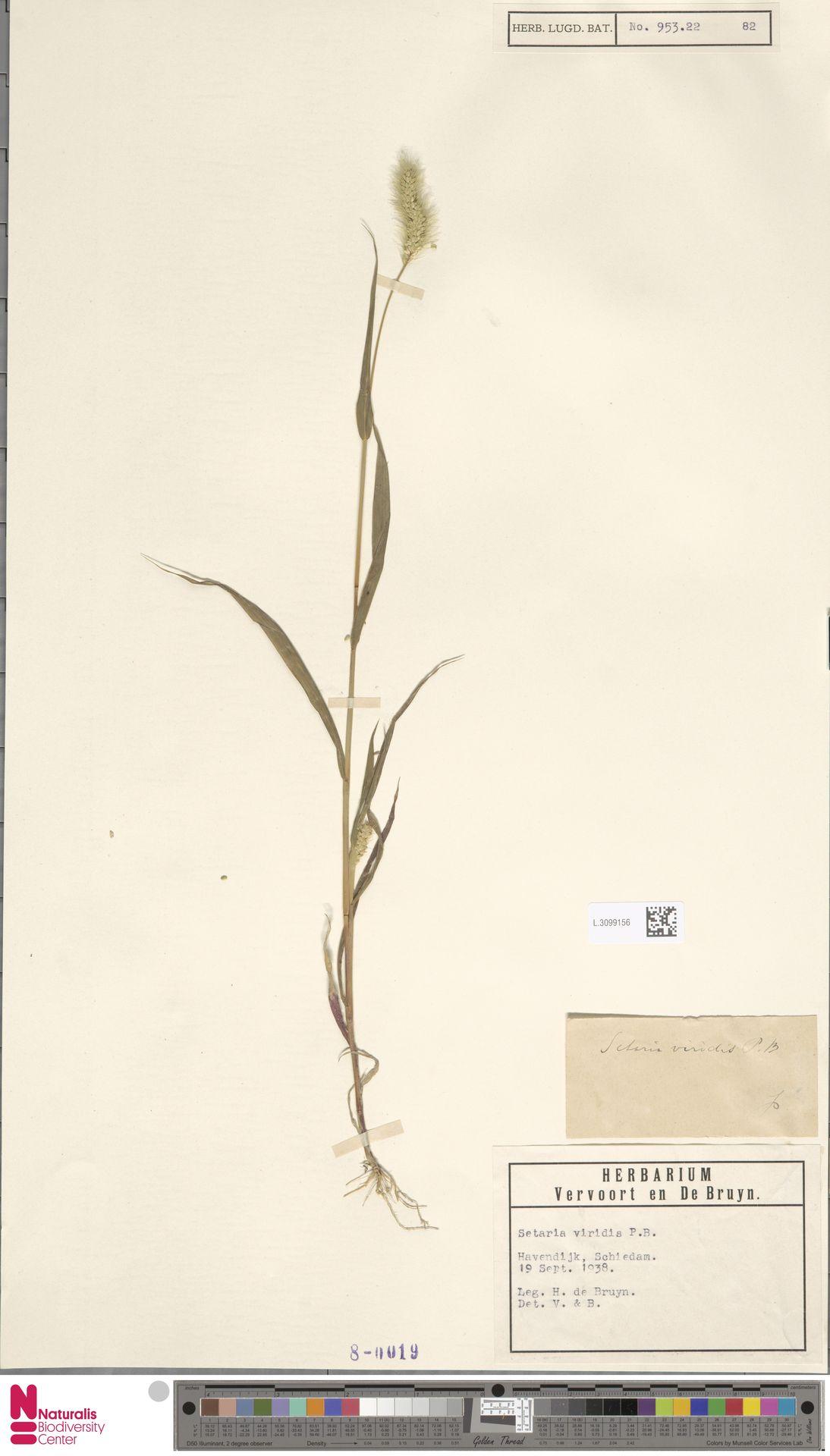 L.3099156 | Setaria viridis (L.) P.Beauv.