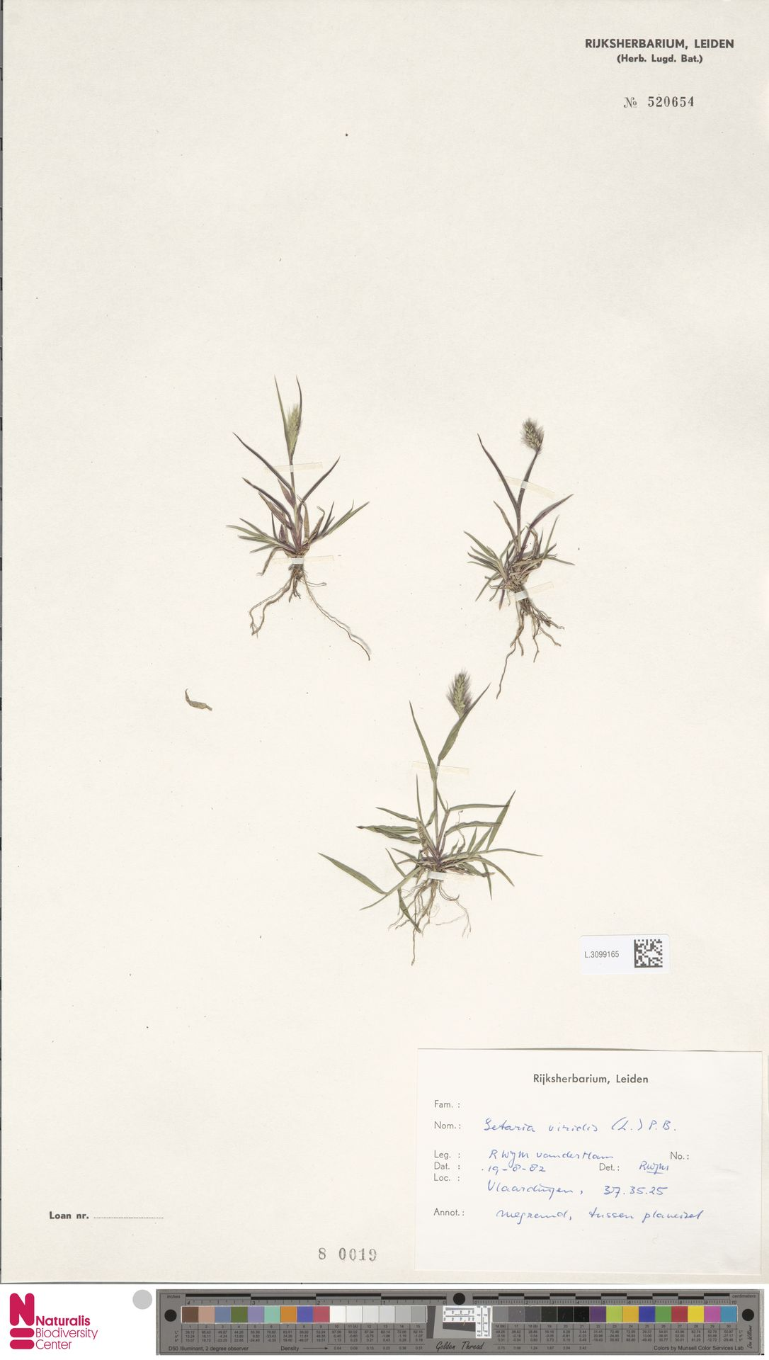 L.3099165   Setaria viridis (L.) P.Beauv.