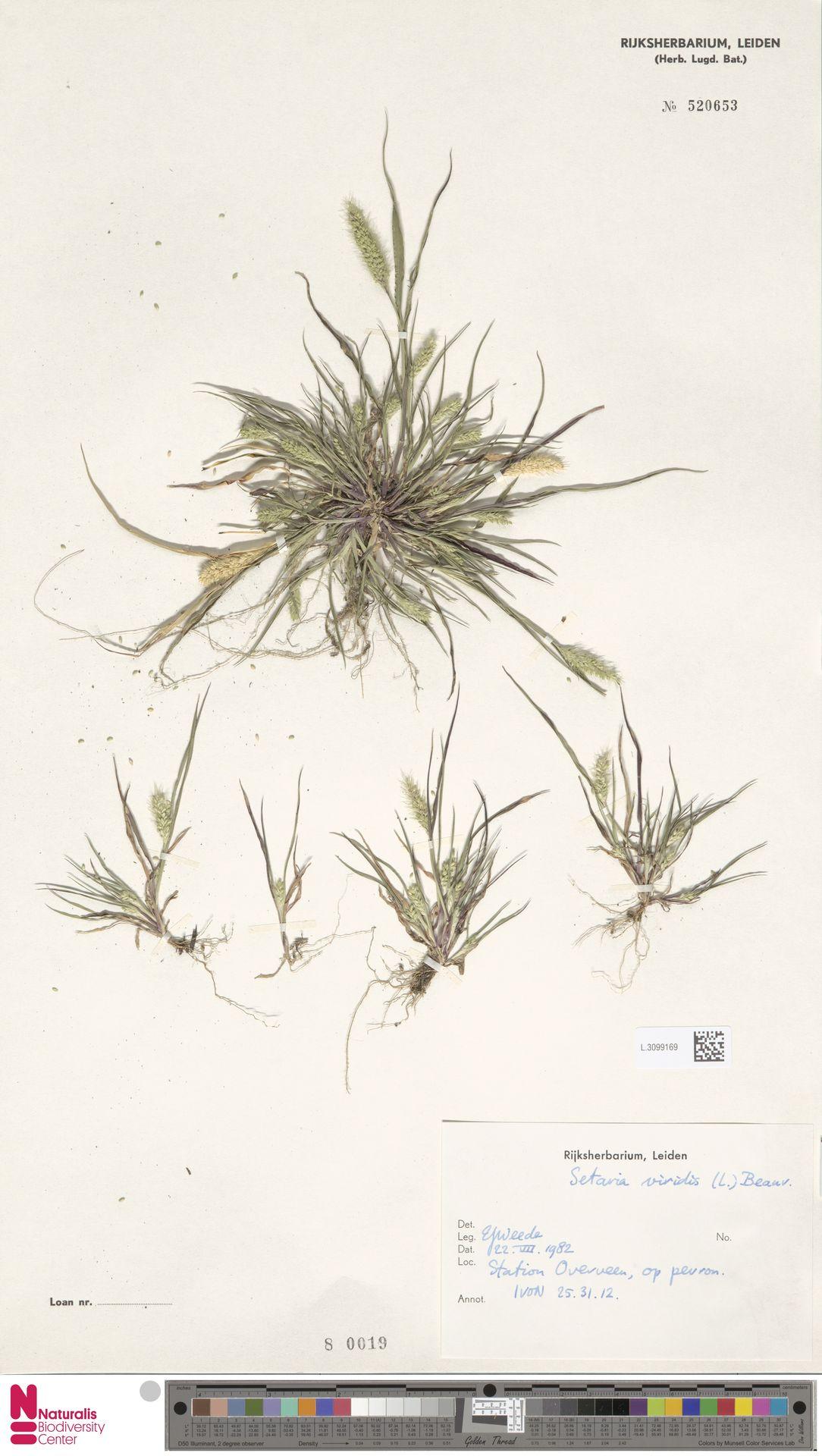 L.3099169   Setaria viridis (L.) P.Beauv.