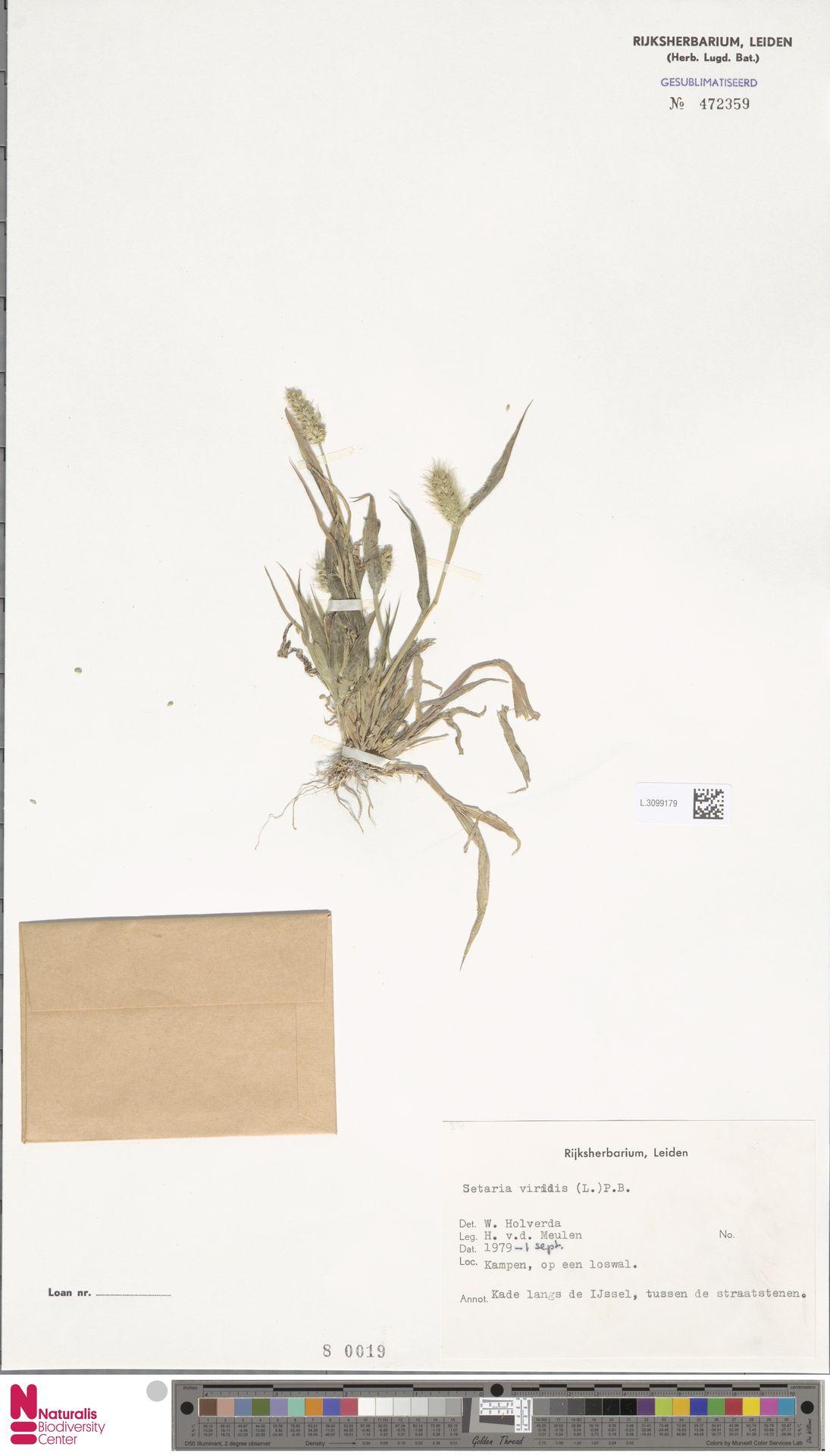 L.3099179   Setaria viridis (L.) P.Beauv.