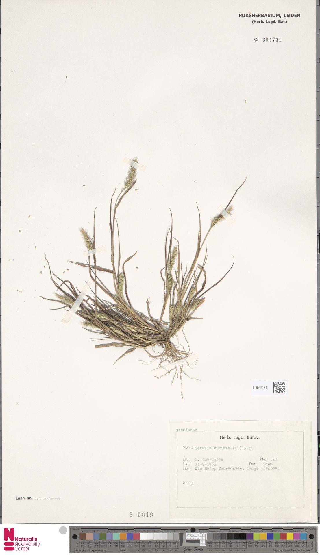 L.3099181 | Setaria viridis (L.) P.Beauv.