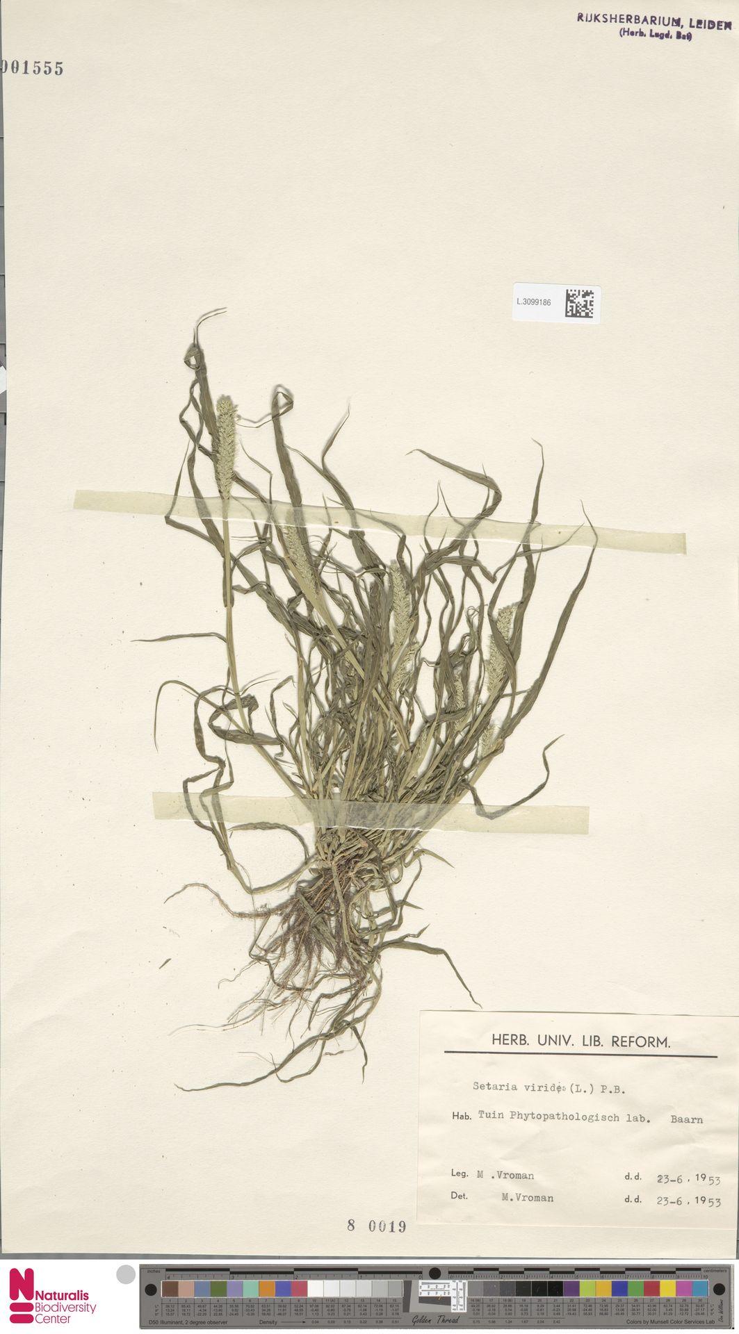 L.3099186 | Setaria viridis (L.) P.Beauv.