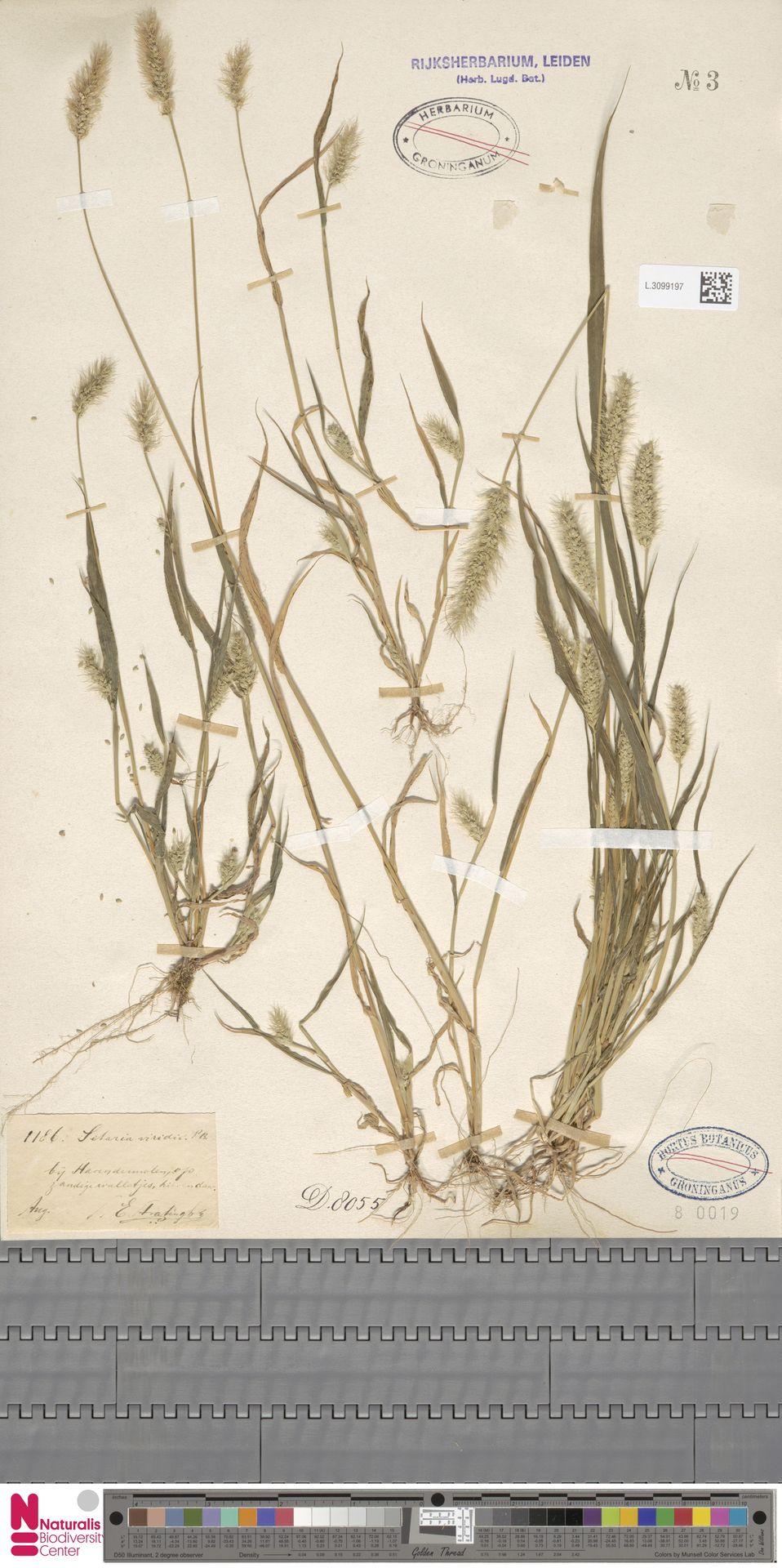 L.3099197 | Setaria viridis (L.) P.Beauv.