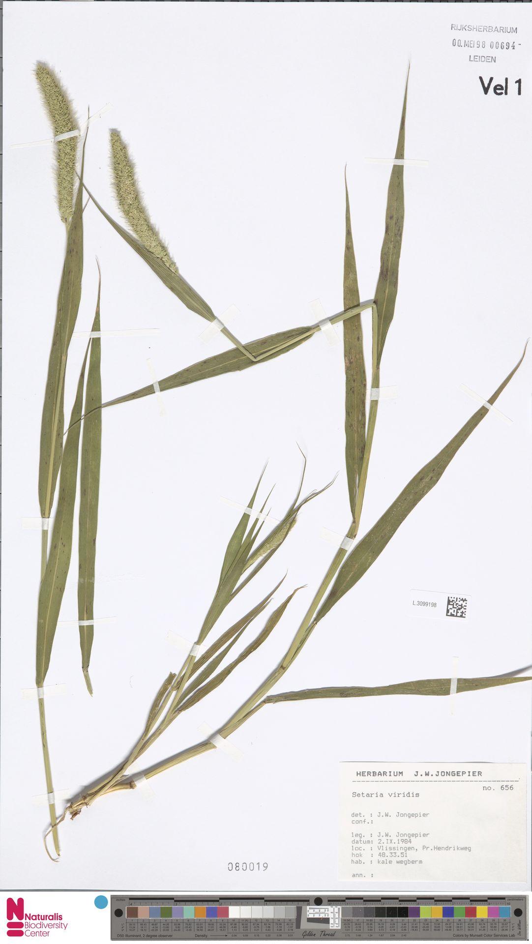 L.3099198   Setaria viridis (L.) P.Beauv.