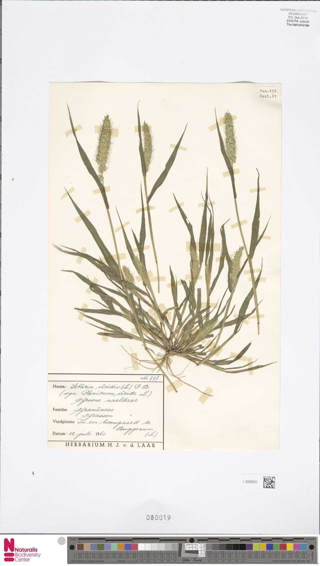 L.3099203 | Setaria viridis (L.) P.Beauv.