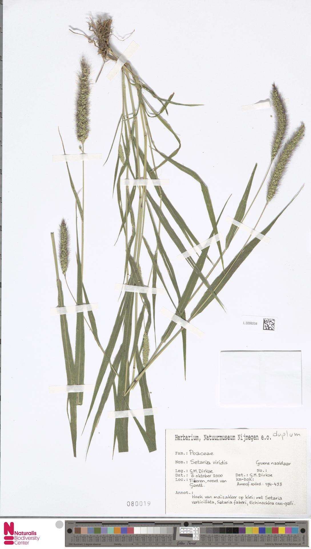 L.3099204 | Setaria viridis (L.) P.Beauv.