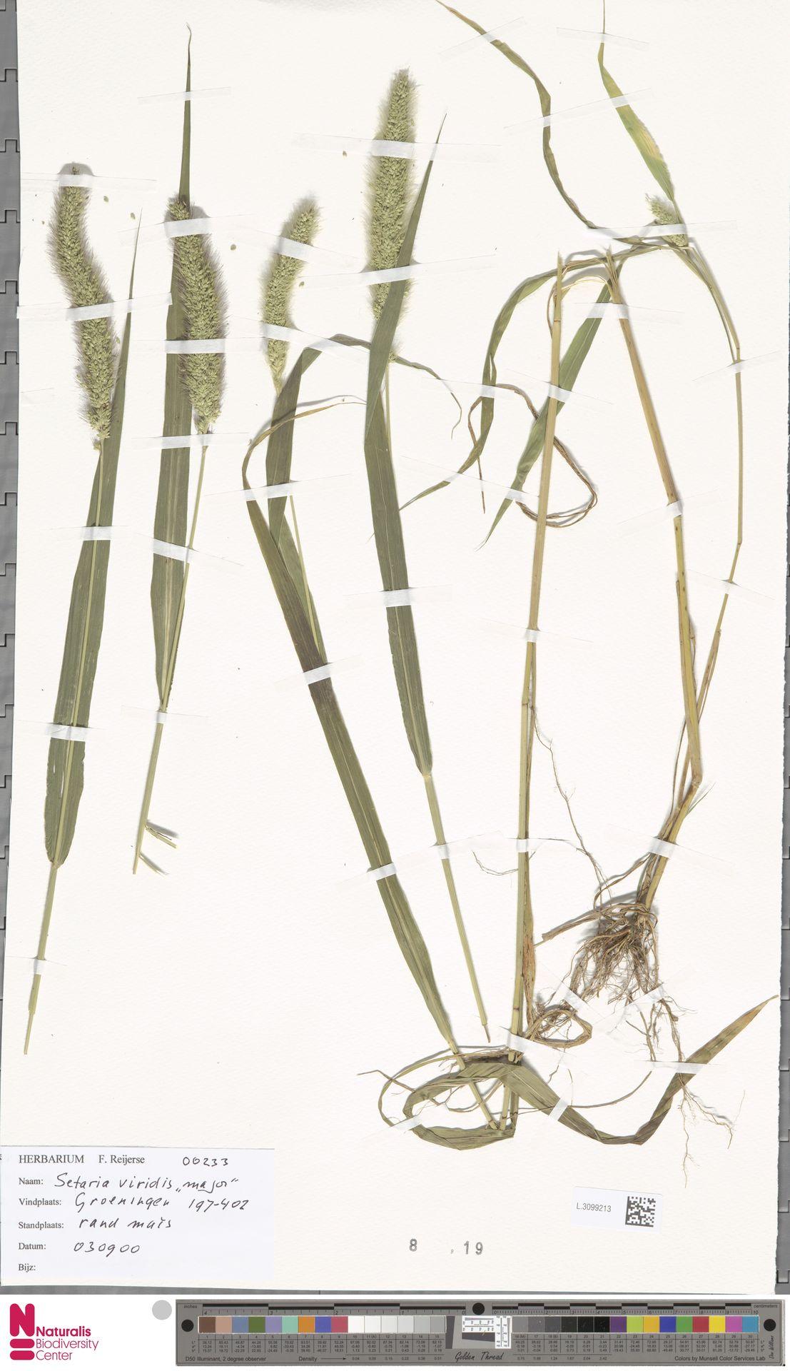 L.3099213   Setaria viridis (L.) P.Beauv.