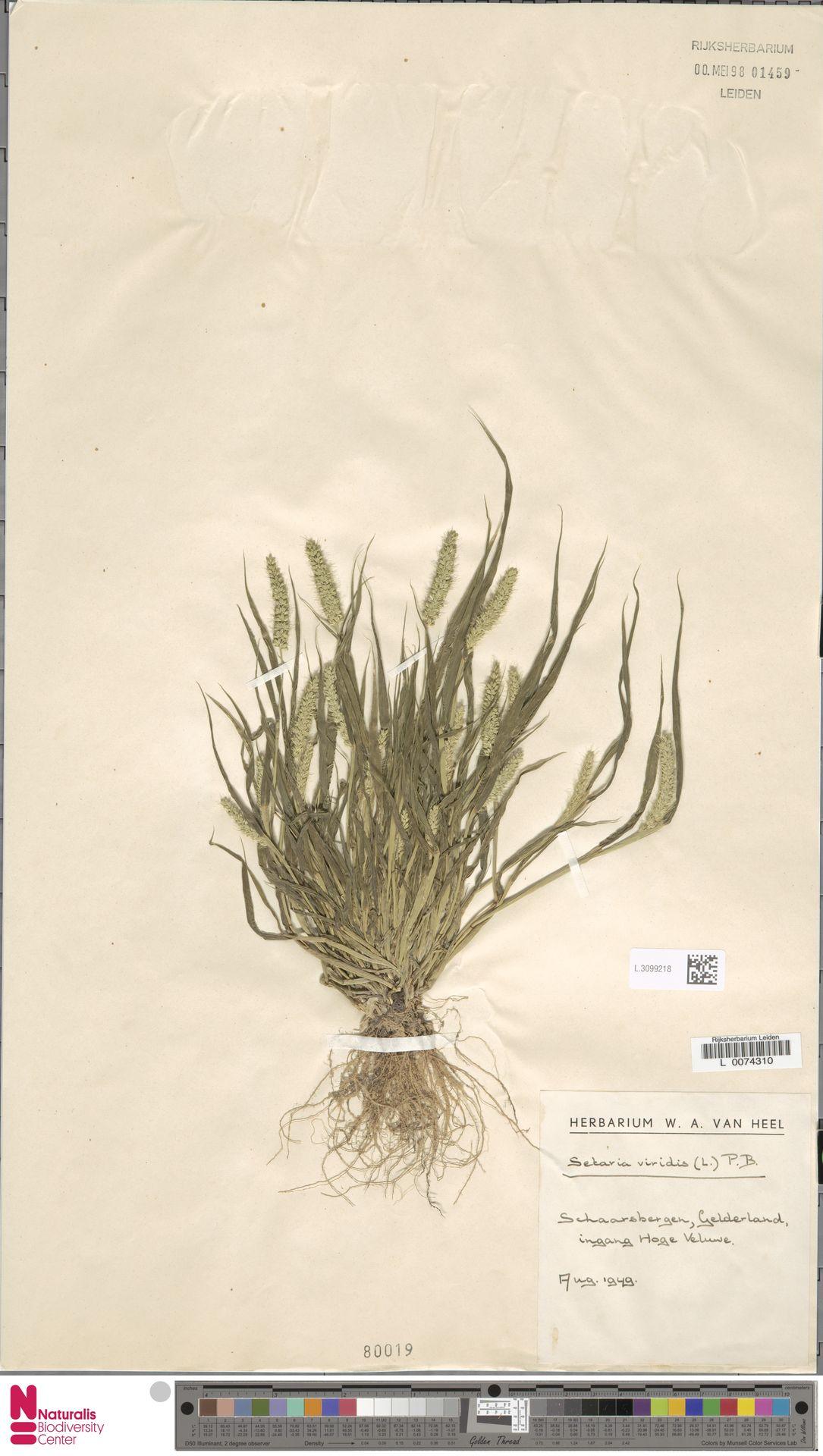L.3099218   Setaria viridis (L.) P.Beauv.