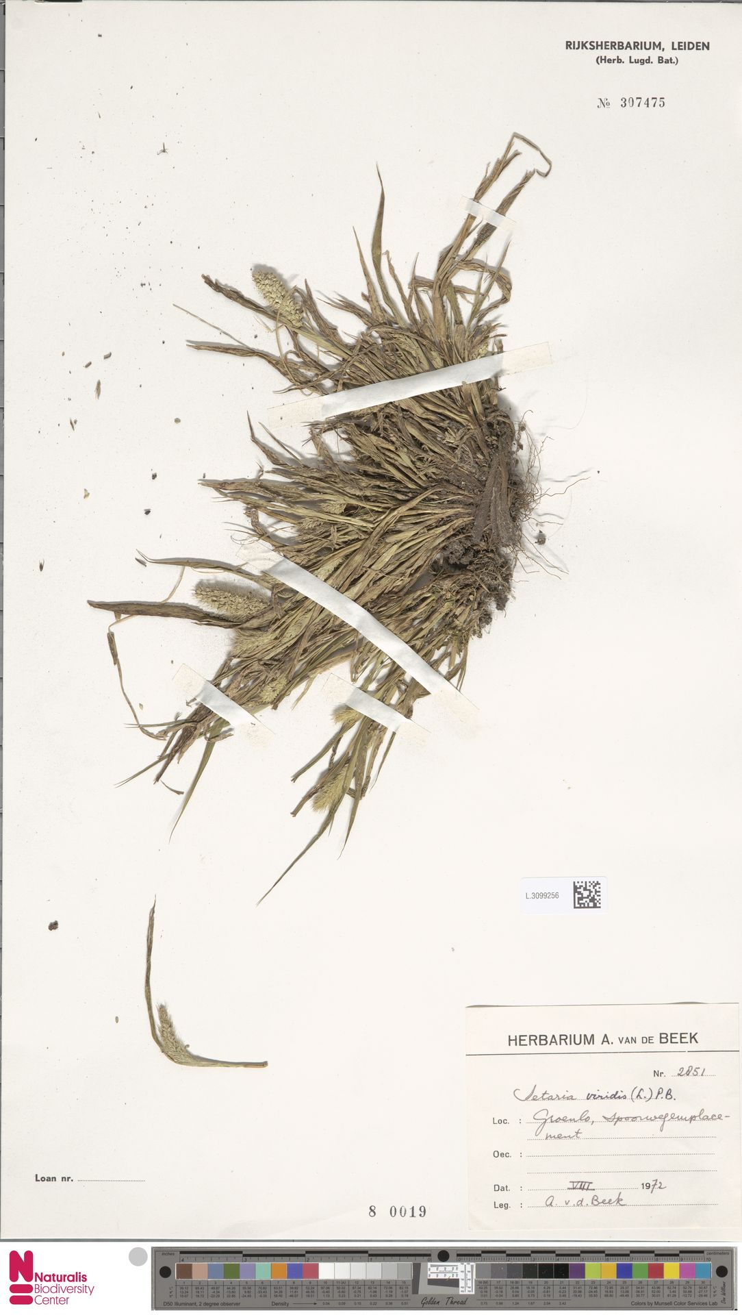 L.3099256 | Setaria viridis (L.) P.Beauv.