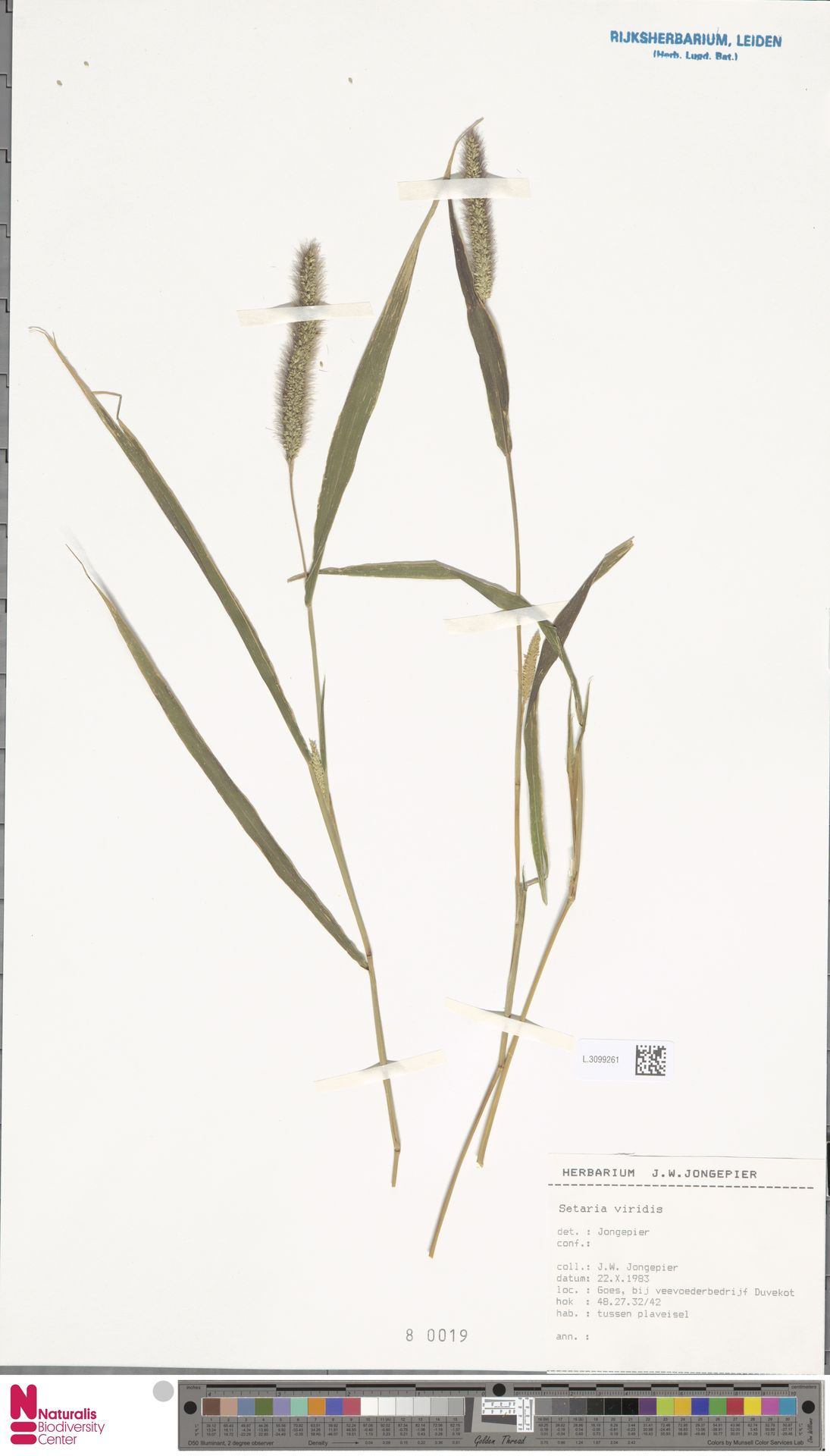 L.3099261 | Setaria viridis (L.) P.Beauv.