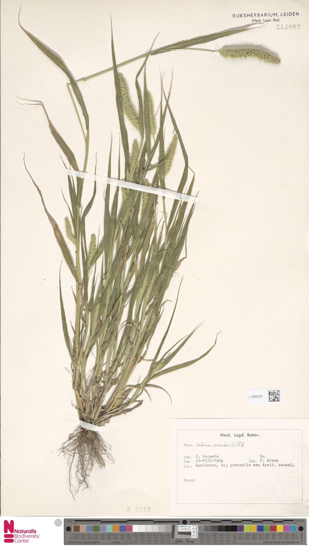 L.3099282   Setaria viridis (L.) P.Beauv.