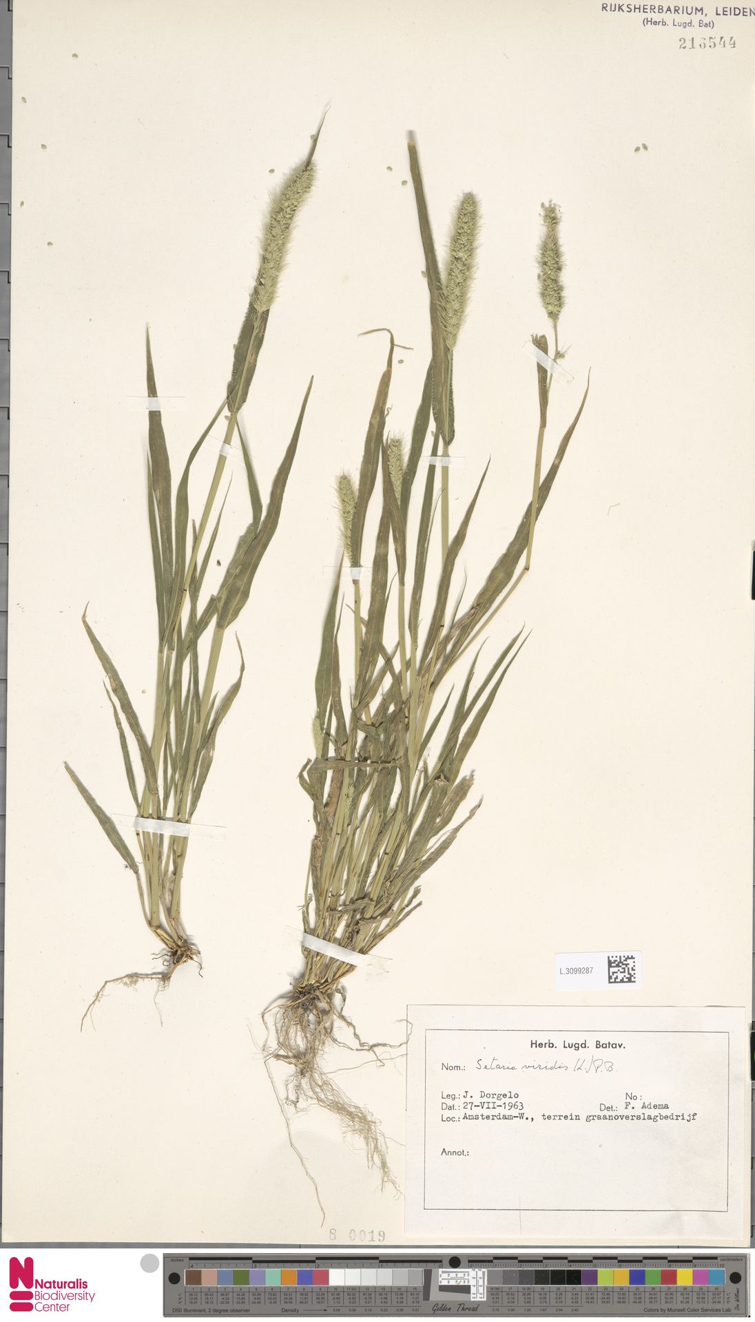 L.3099287 | Setaria viridis (L.) P.Beauv.