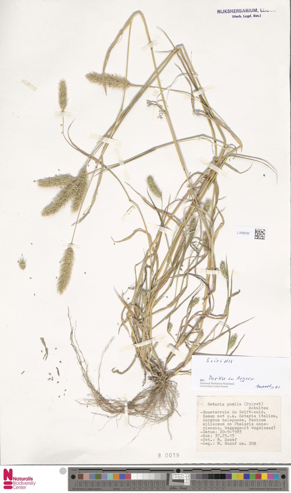 L.3099292   Setaria viridis (L.) P.Beauv.