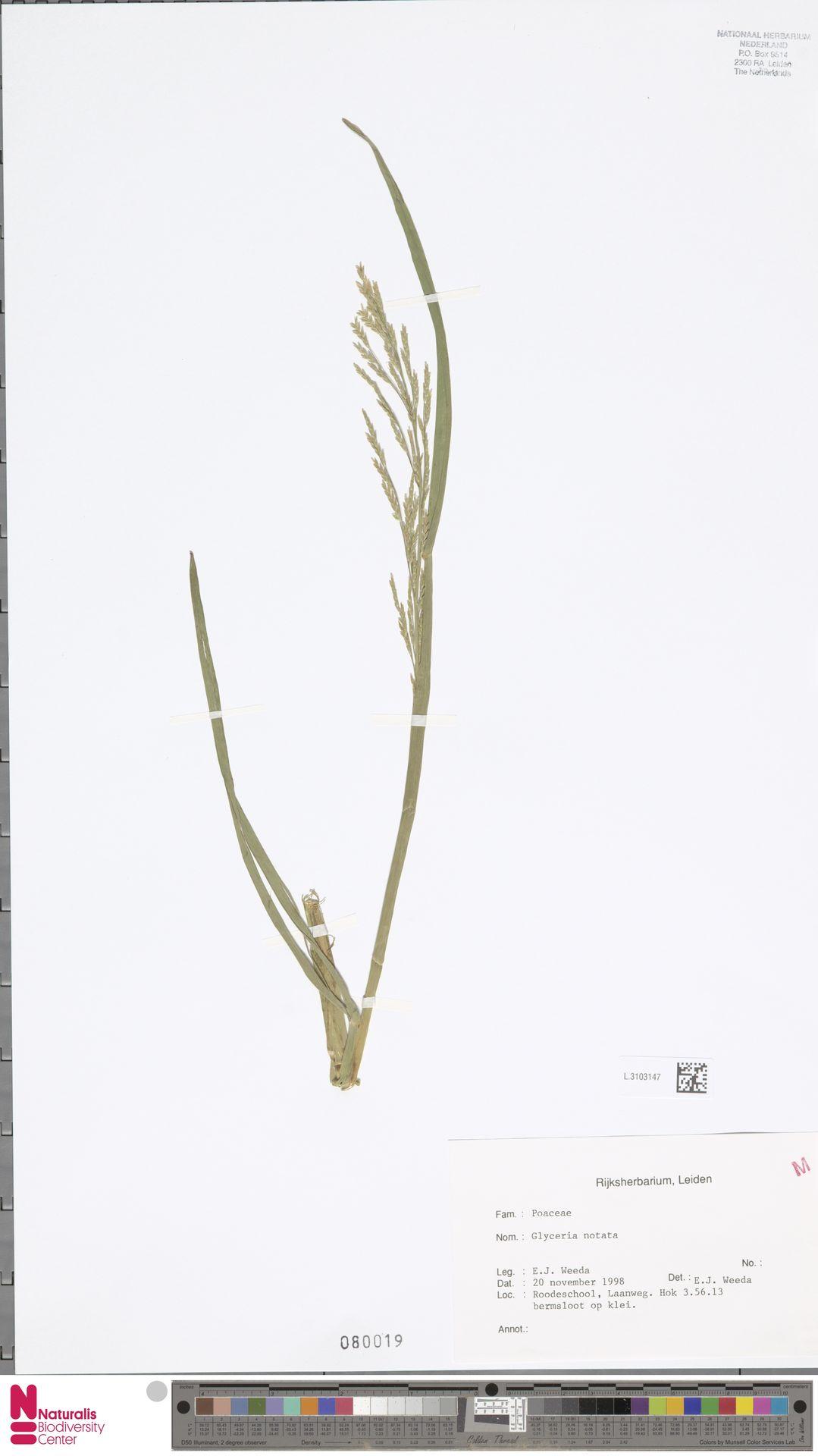 L.3103147 | Glyceria notata Chevall.
