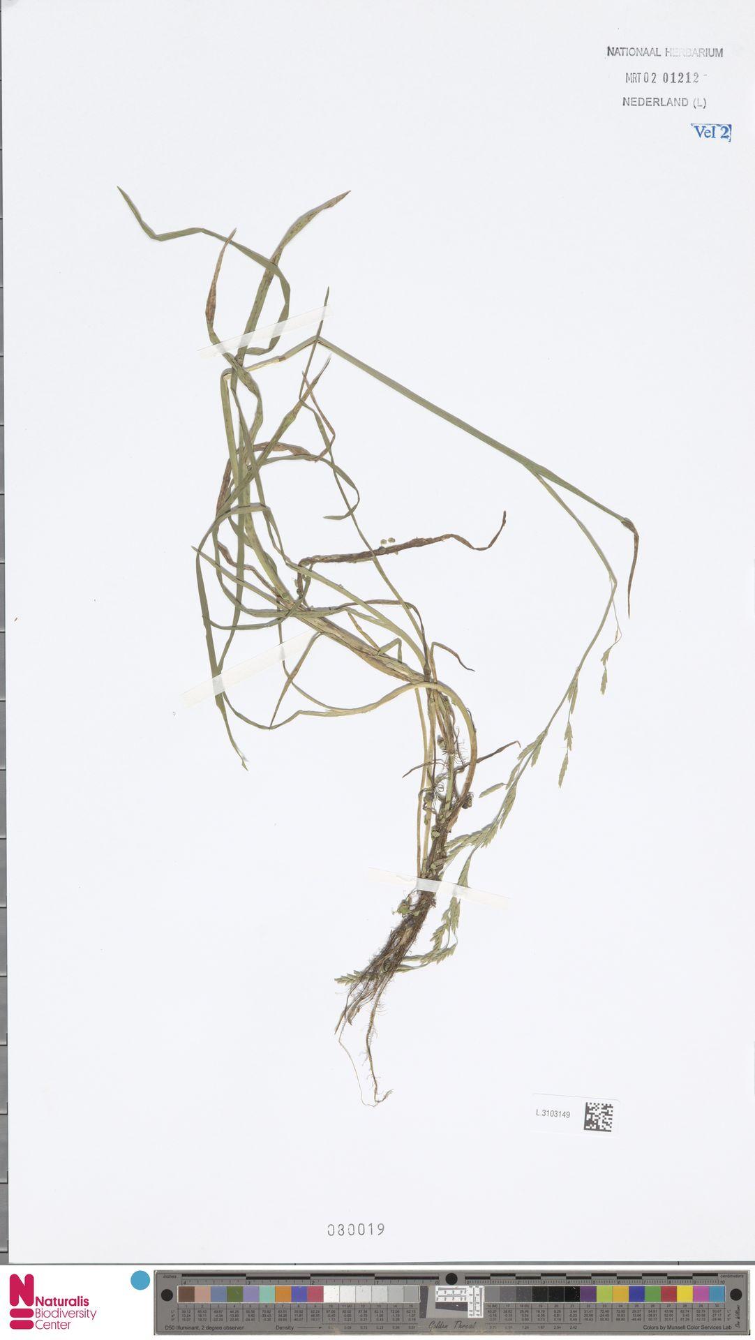 L.3103149 | Glyceria notata Chevall.