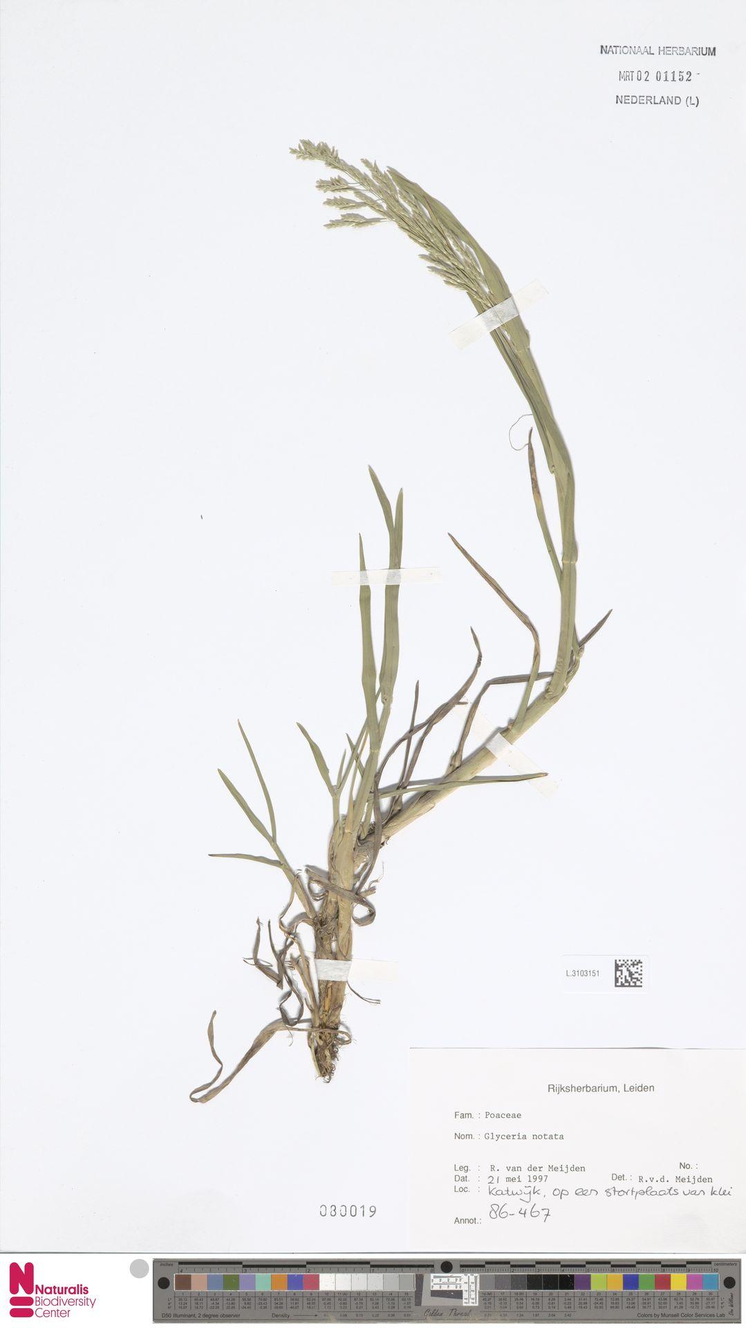 L.3103151 | Glyceria notata Chevall.