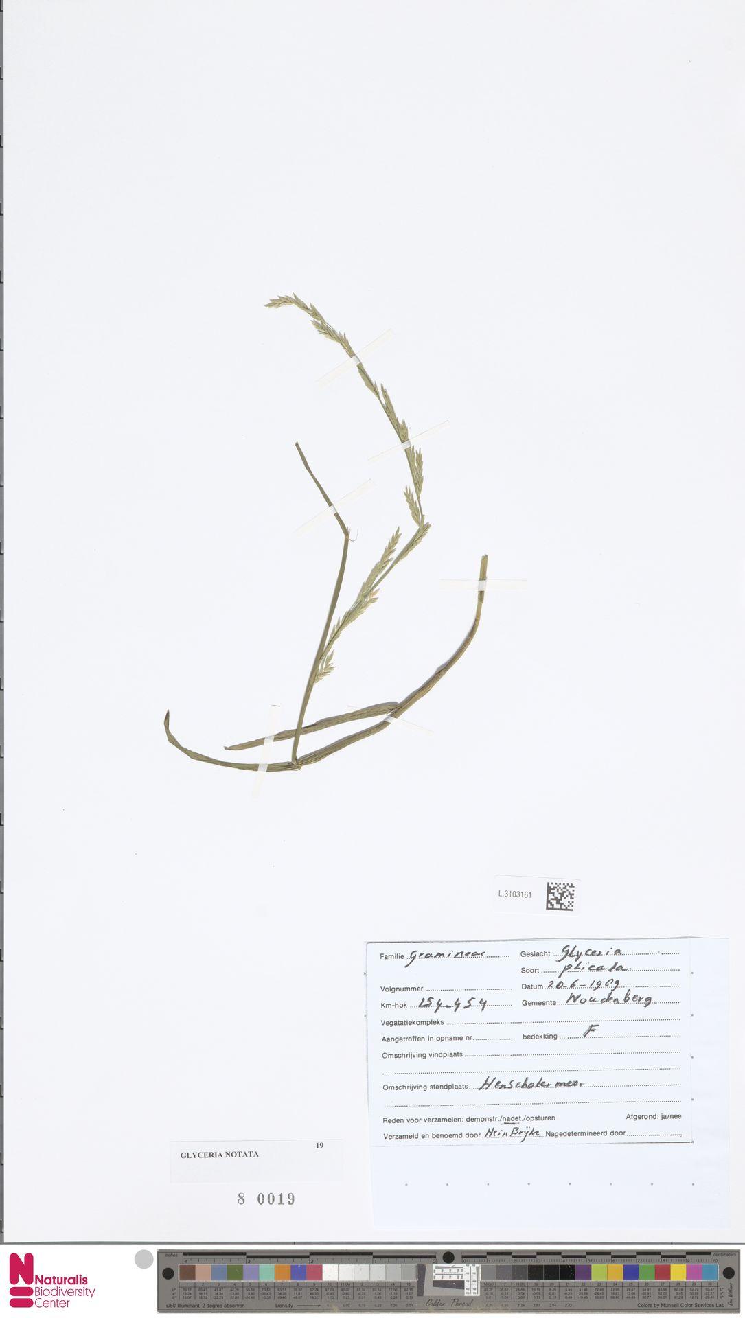 L.3103161 | Glyceria notata Chevall.