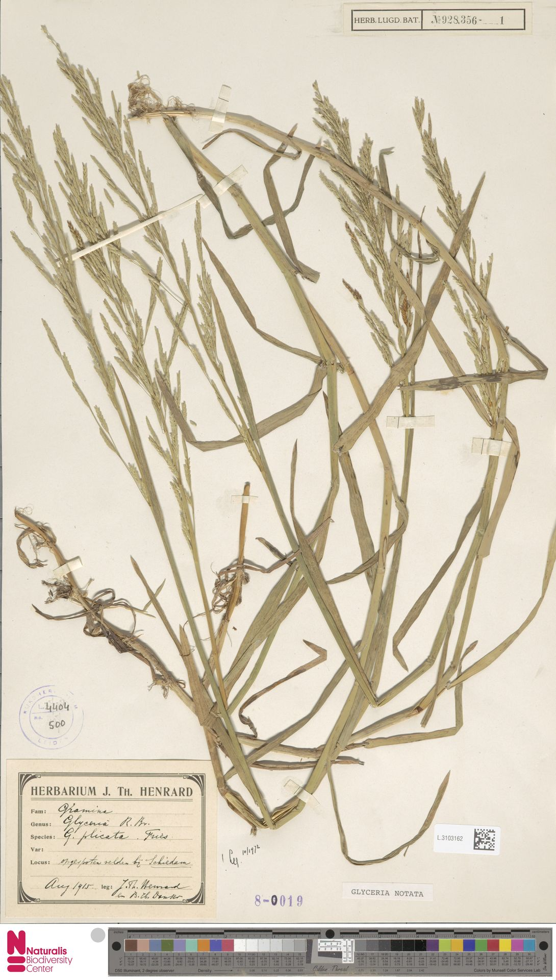 L.3103162   Glyceria notata Chevall.