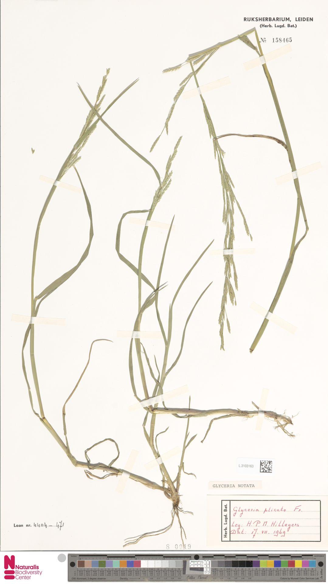 L.3103163 | Glyceria notata Chevall.
