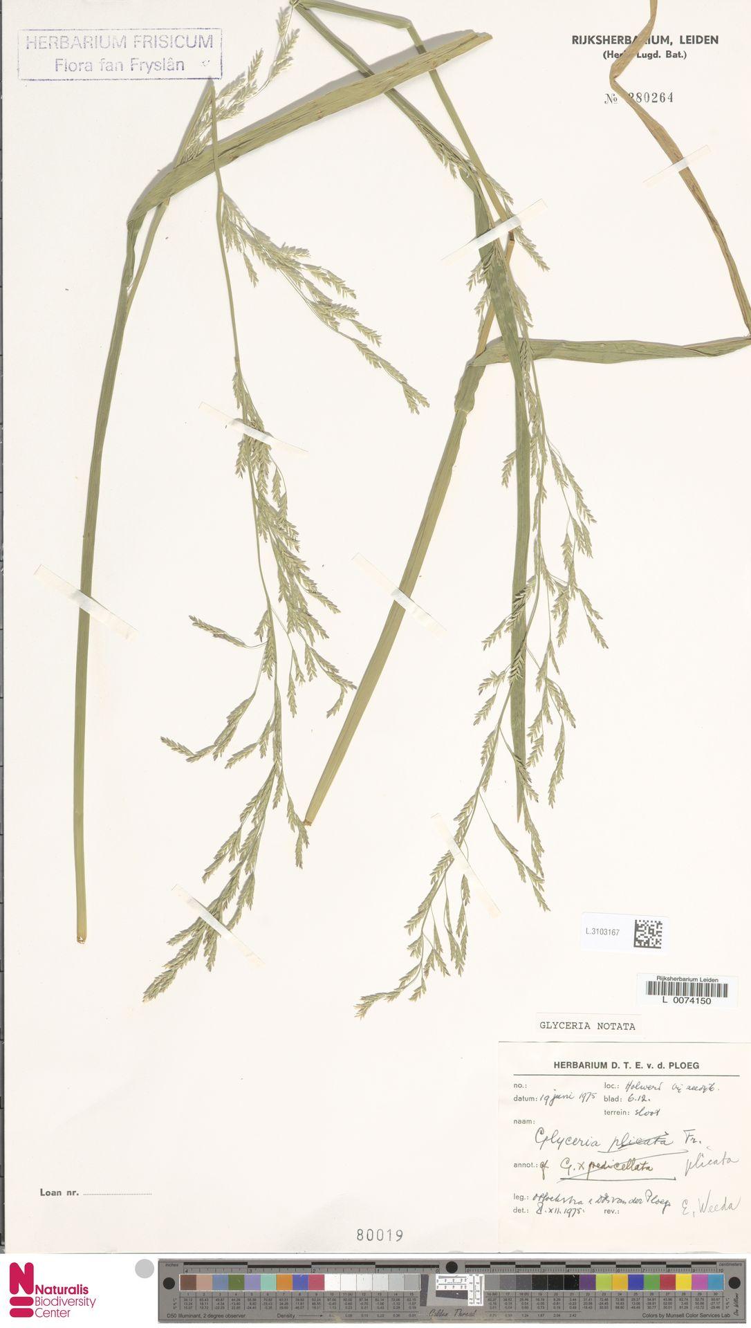 L.3103167 | Glyceria notata Chevall.