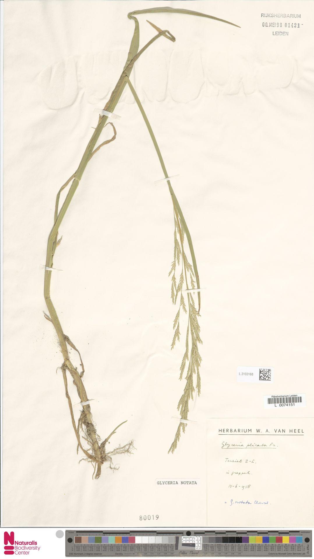 L.3103168 | Glyceria notata Chevall.