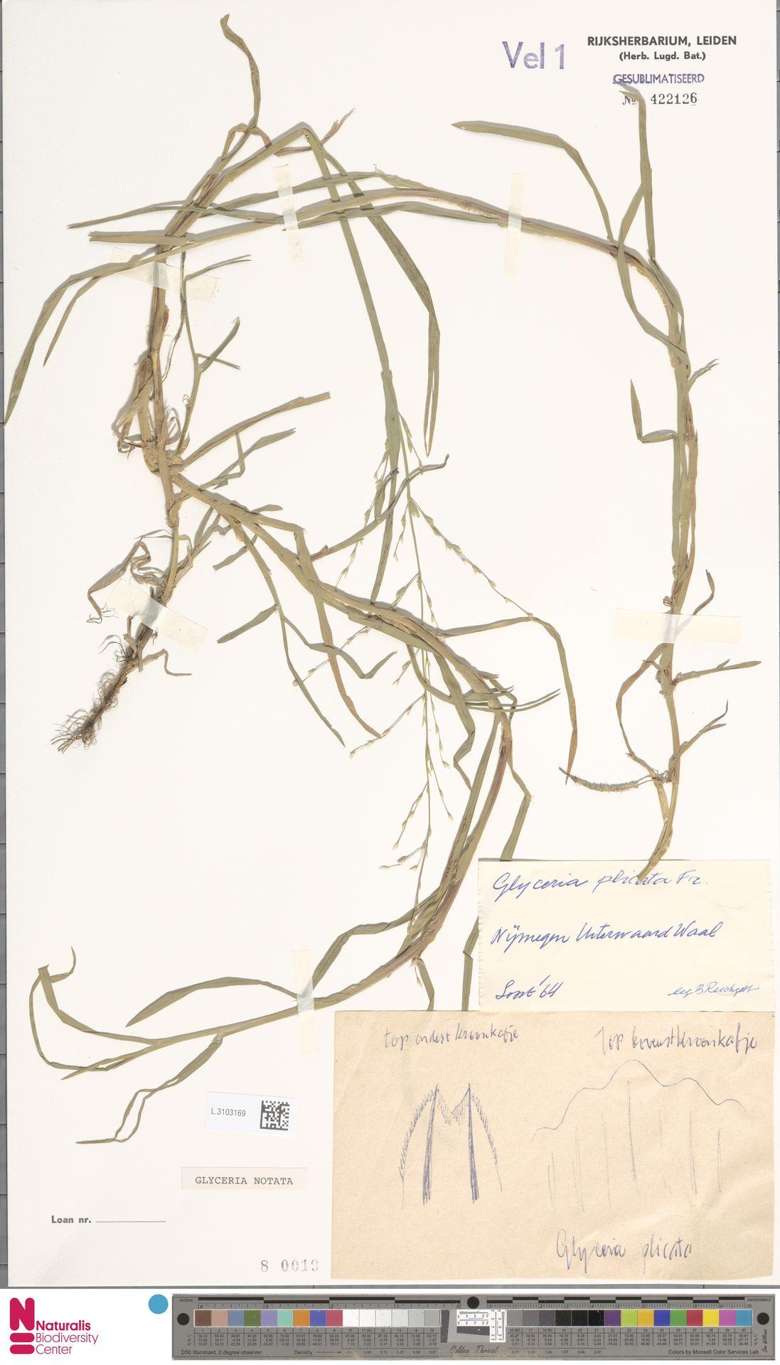 L.3103169 | Glyceria notata Chevall.